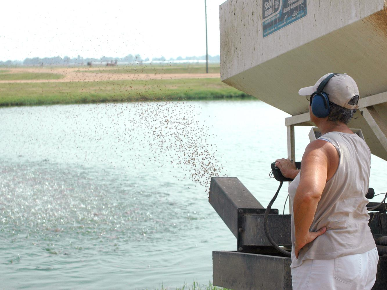 Catfish that are bringing record high prices consume feed, which is also at its highest levels. Sue Kingsbury, now a retired Mississippi State University researcher, is feeding catfish in a pond at the Delta Research and Extension Center in Stoneville. Catfish feed, which is the biggest production expense, has increased 120 percent in the last decade. (File photo by Rebekah Ray)