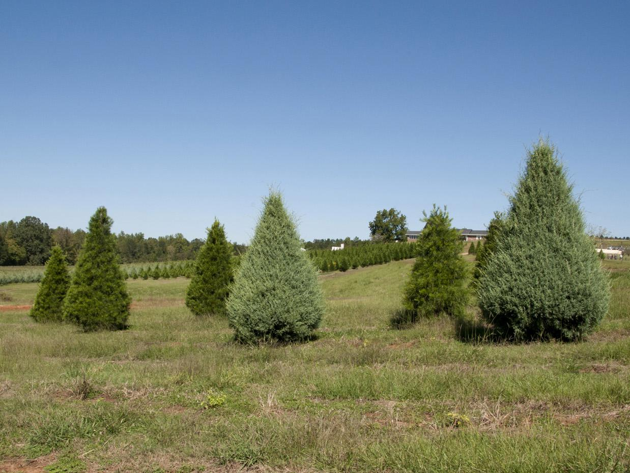 Image result for Variety of Christmas trees to help you take up the agro forestry