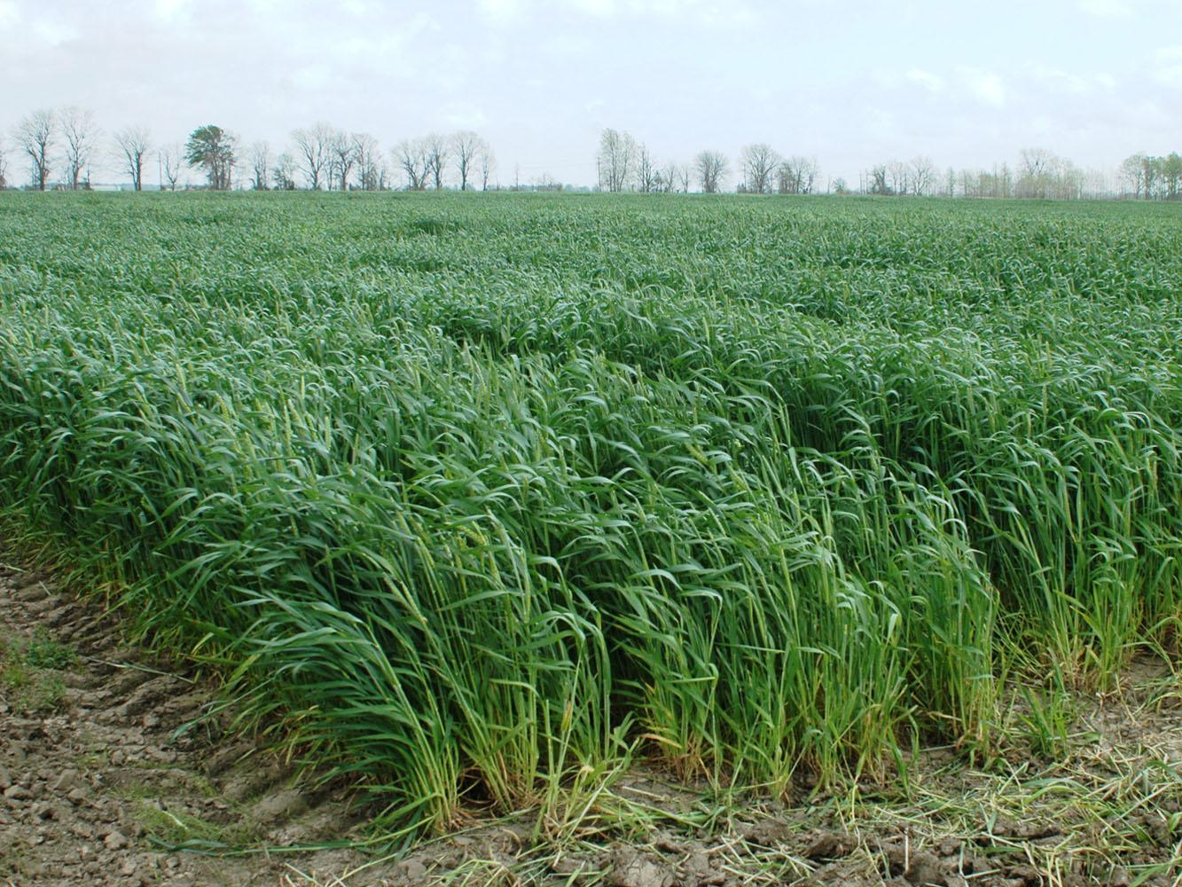 Wheat, such as this growing in Washington County, was pushed ahead of schedule by a warm winter that presented many challenges for the crop to overcome. (Photo by MSU Delta Research and Extension Center/Rebekah Ray)