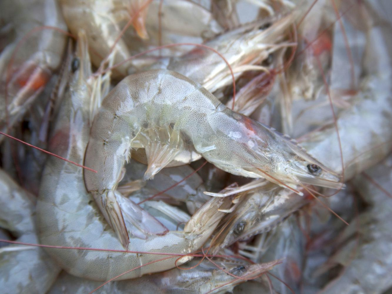 The bulk of the 1.137 million pounds of shrimp landed in Biloxi during the first two weeks of the season have been medium, 36- to 40-count shrimp. (Photo by MSU Ag Communications/Kat Lawrence)