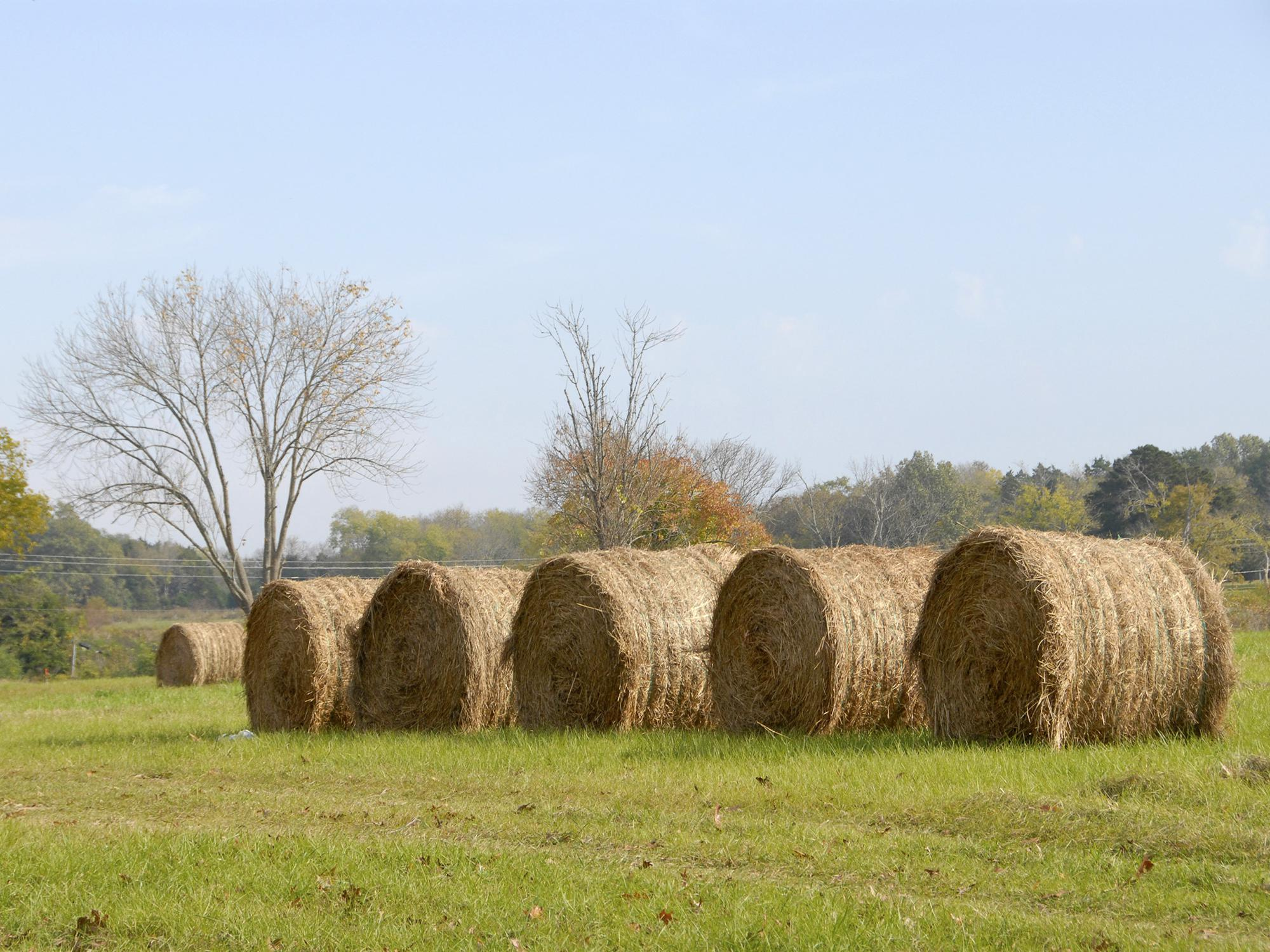 A grower in Oktibbeha County, Miss., has hay bales in the field and fall grasses already coming up on Oct. 26, 2012. This year's hay crop has the potential to be the fourth most valuable crop in the state, behind soybeans, corn and cotton. (Photo by MSU Ag Communications/Tim McAlavy)