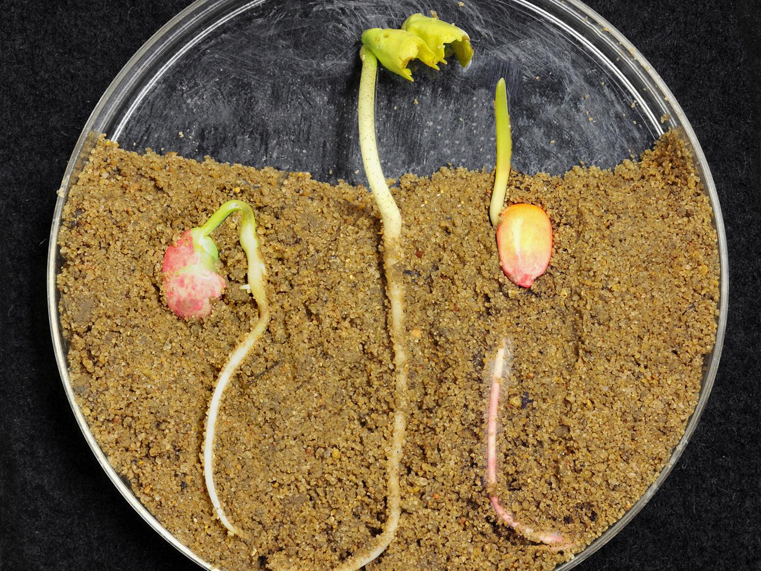 Mississippi farmers plan to plant more corn, less cotton and about the same soybean acreage as last year. From left, soybean, cotton and corn seeds have germinated in the lab. (Photo by MSU Ag Communications/Kat Lawrence)