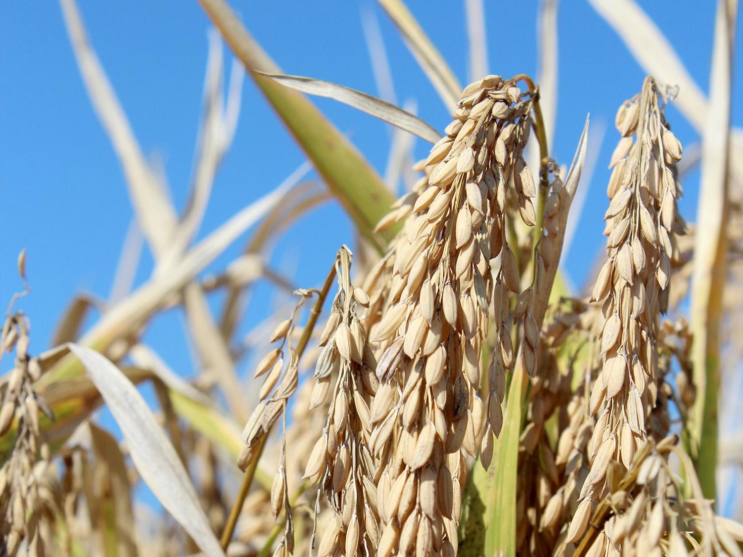 Even after a late start, a favorable growing season allowed for a timely harvest of Mississippi's rice, such as this grown at the Delta Research and Extension Center in Stoneville. The U.S. Department of Agriculture reports the crop was 96 percent harvested by Oct. 20, 2013. (Photo by MSU Ag Communications/Keri Collins Lewis)