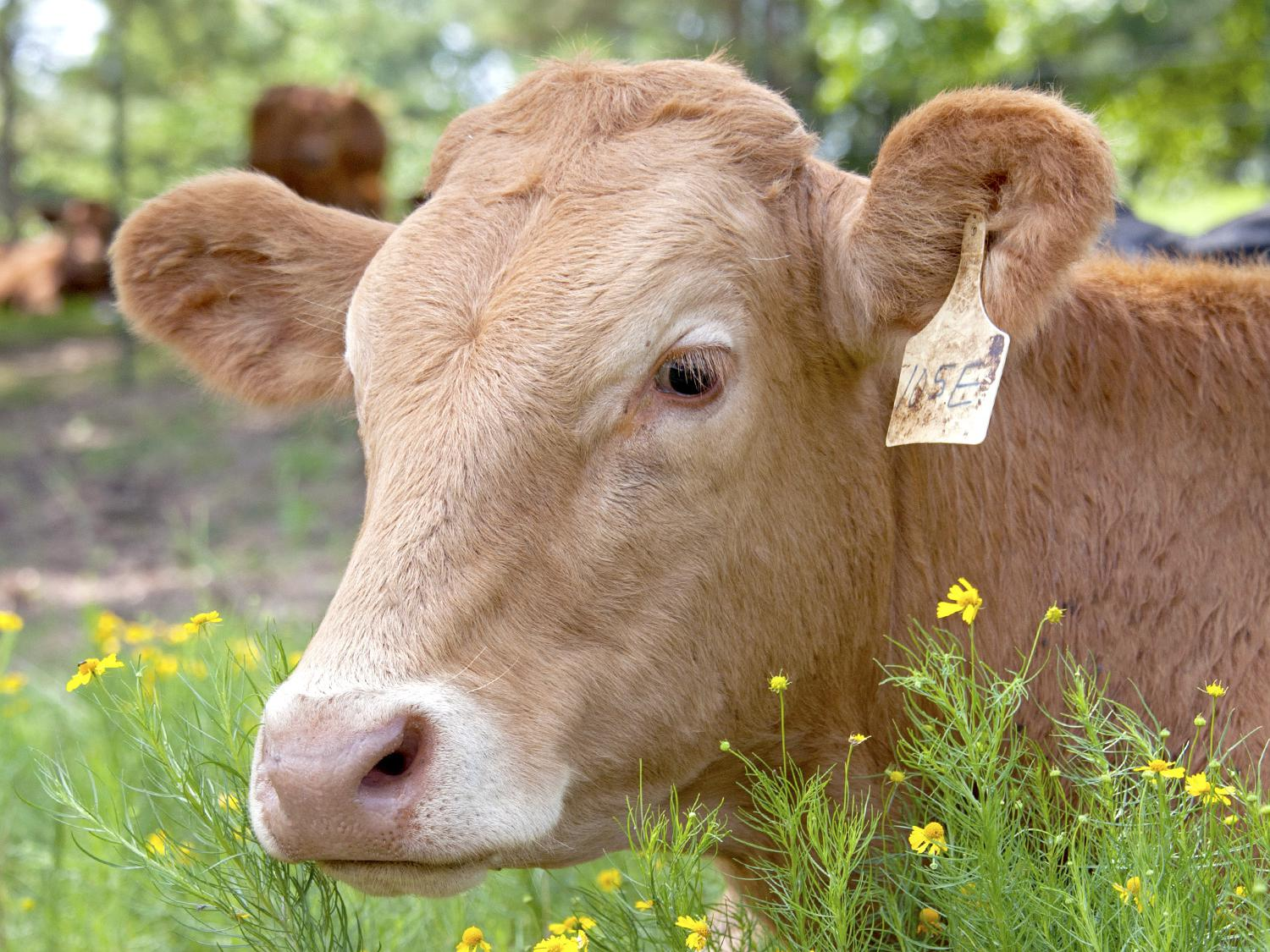 Mississippi cattle, such as this one on the Beaverdam Fresh Farms in Clay County, Mississippi, on July 8, 2014, eat less and grow slower during the hottest months. While Mississippi has not faced extremely dry conditions in recent years, the state's herd numbers are still down, just like those in drought-stricken regions. (Photo by MSU Ag Communications/Kat Lawrence)