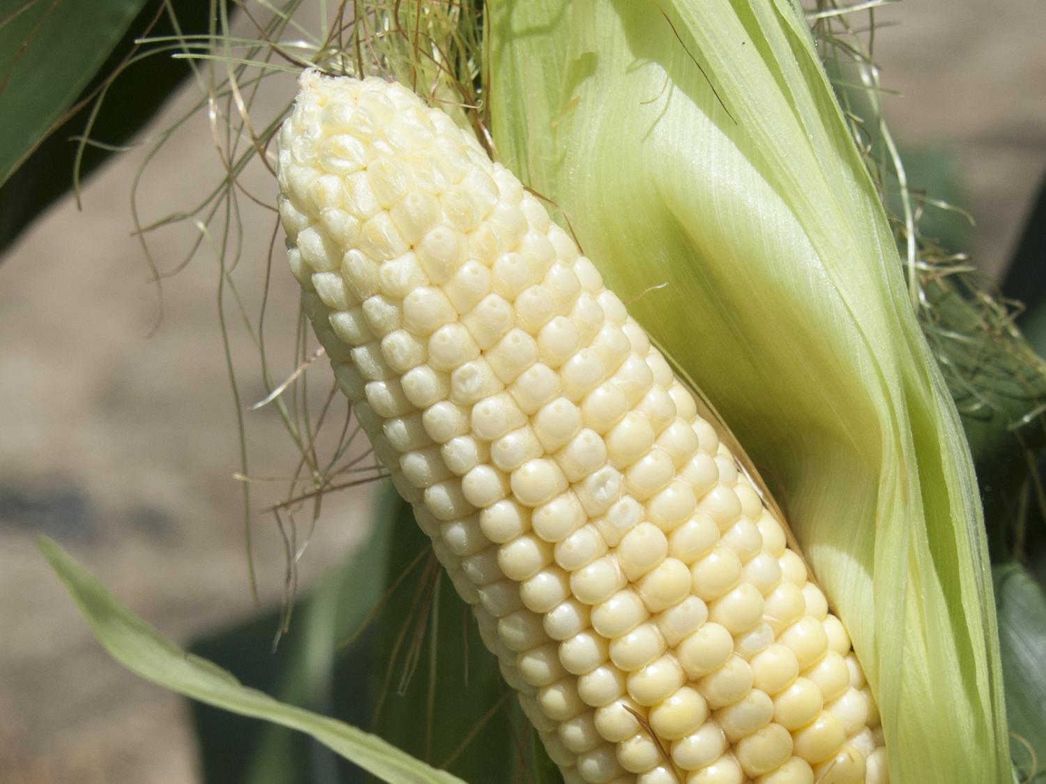 A variety of stresses, including saturated soils, can cause kernels at the tips of corn ears not to fill out. This ear was photographed July 1, 2014, at Mississippi State University's R.R. Foil Plant Science Research Center in Starkville, Mississippi. (Photo by MSU Ag Communications/Kat Lawrence)