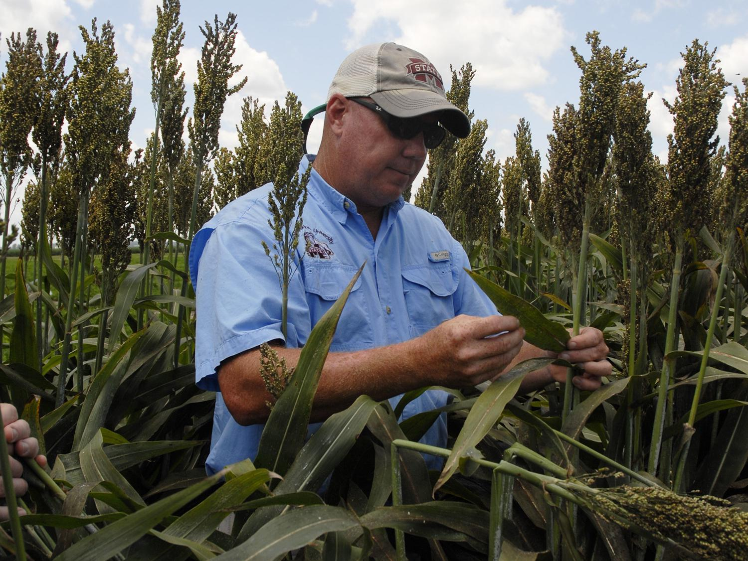 Jeff Gore, an entomology expert with the Mississippi State University Extension Service and the Mississippi Agricultural and Forestry Experiment Station, surveys white sugarcane aphid damage in a grain sorghum research plot near Stoneville, Mississippi, on Aug. 13, 2014. (Photo by MSU Ag Communications/Bonnie Coblentz)