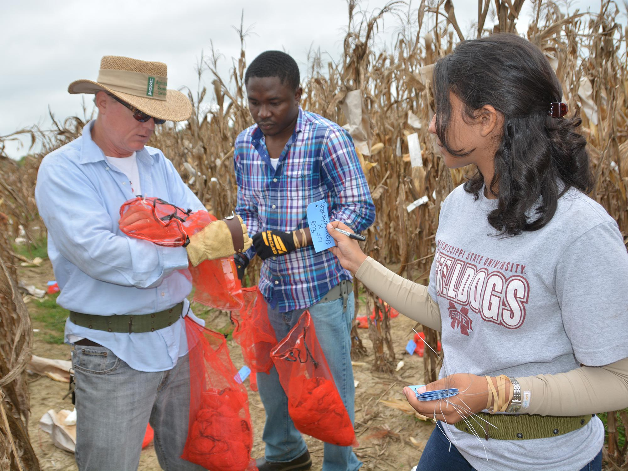 Jack Haynes, a biological science technician with the U.S. Department of Agriculture's Agricultural Research Service, left, works with Mississippi State University graduate students Felix Ogunola of Nigeria and Dafne Oliveira of Brazil as they collect corn samples from an aflatoxin test plot on Sept. 12, 2014, at the Rodney Foil Plant Science Research Center near Starkville, Mississippi. (Photo by MSU Ag Communications/Linda Breazeale)