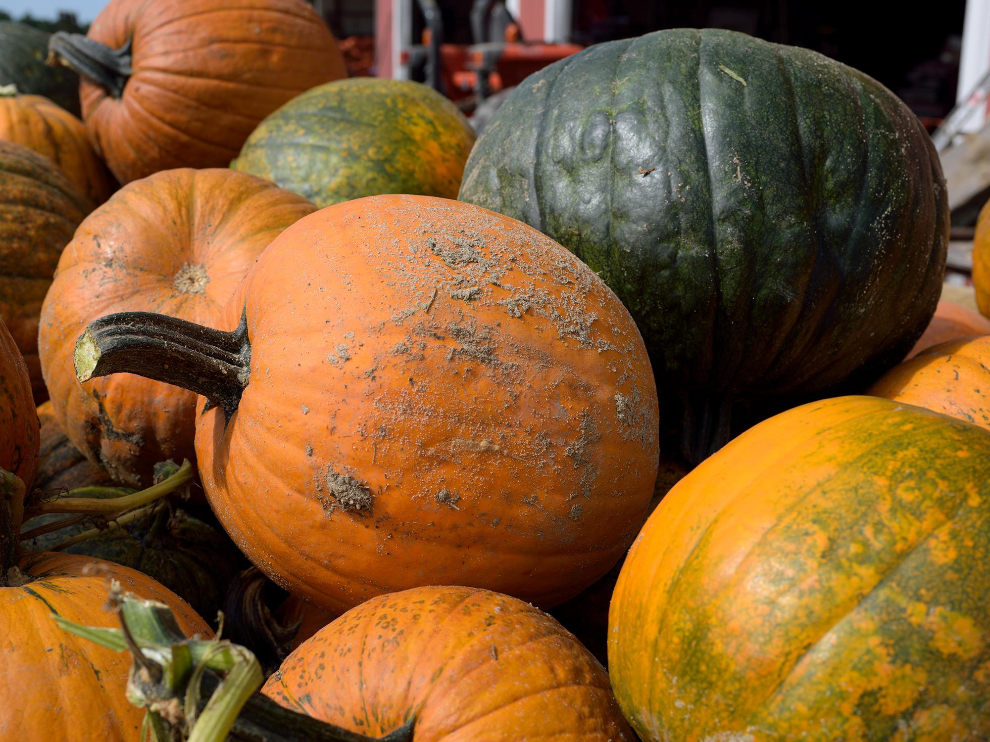 Wet weather during the growing season delayed pumpkin harvest and increased disease pressure for some Mississippi growers. These pumpkins were displayed at Mitchell Farms in Collins, Mississippi on Oct. 20, 2014. (Photo by MSU Ag Communications/Kevin Hudson)