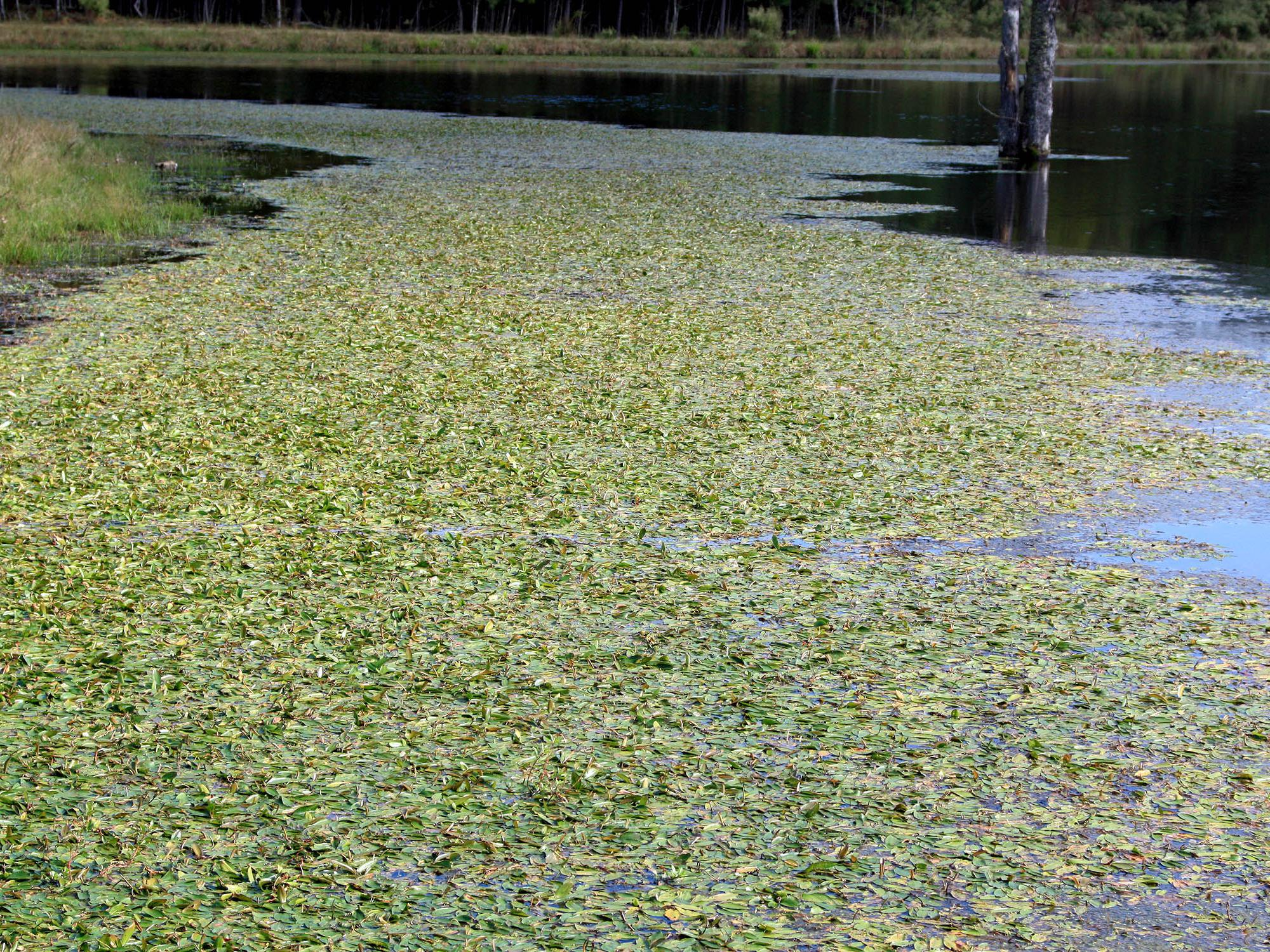Prevention is the best way to control pond weeds, such as this American pondweed growing in Clay County in 2008, but physical, mechanical, biological and chemical control measures can be used once weeds become established. (File photo courtesy of Wes Neal)