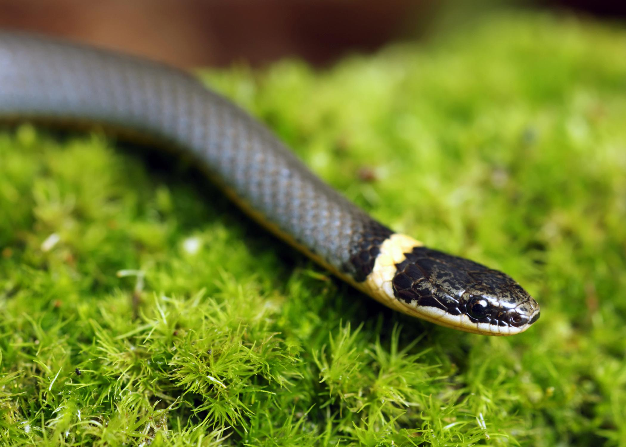 Most snakes in Mississippi, such as this ringneck snake, are nonvenomous and help control rodent and other nuisance wildlife populations. (Photo by iStockphoto)