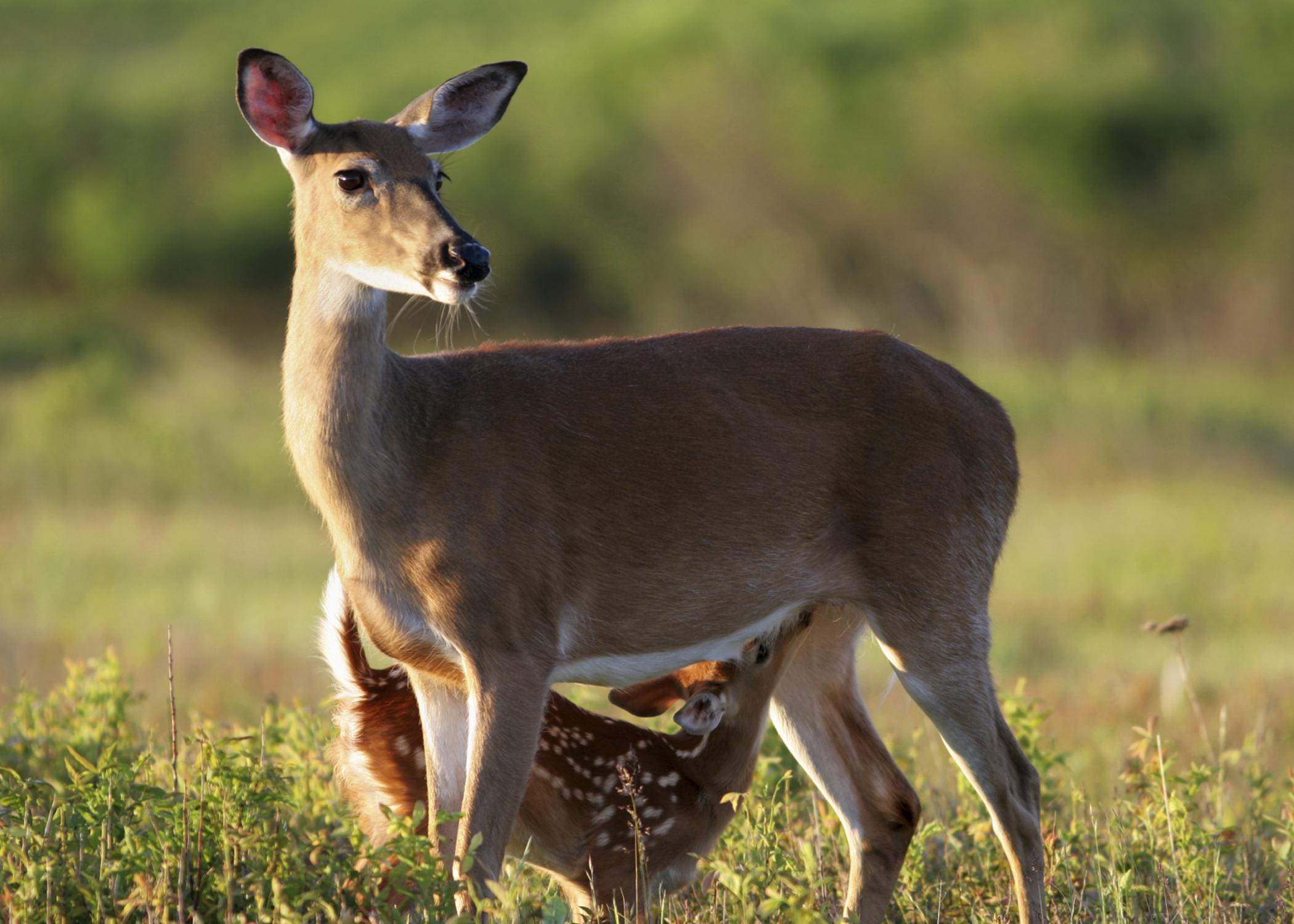 Growing fawns costs mother does a lot of energy, and providing milk for the young deer requires does to consume a lot of high-quality food to produce the right amounts of milk. (Photo by iStock)