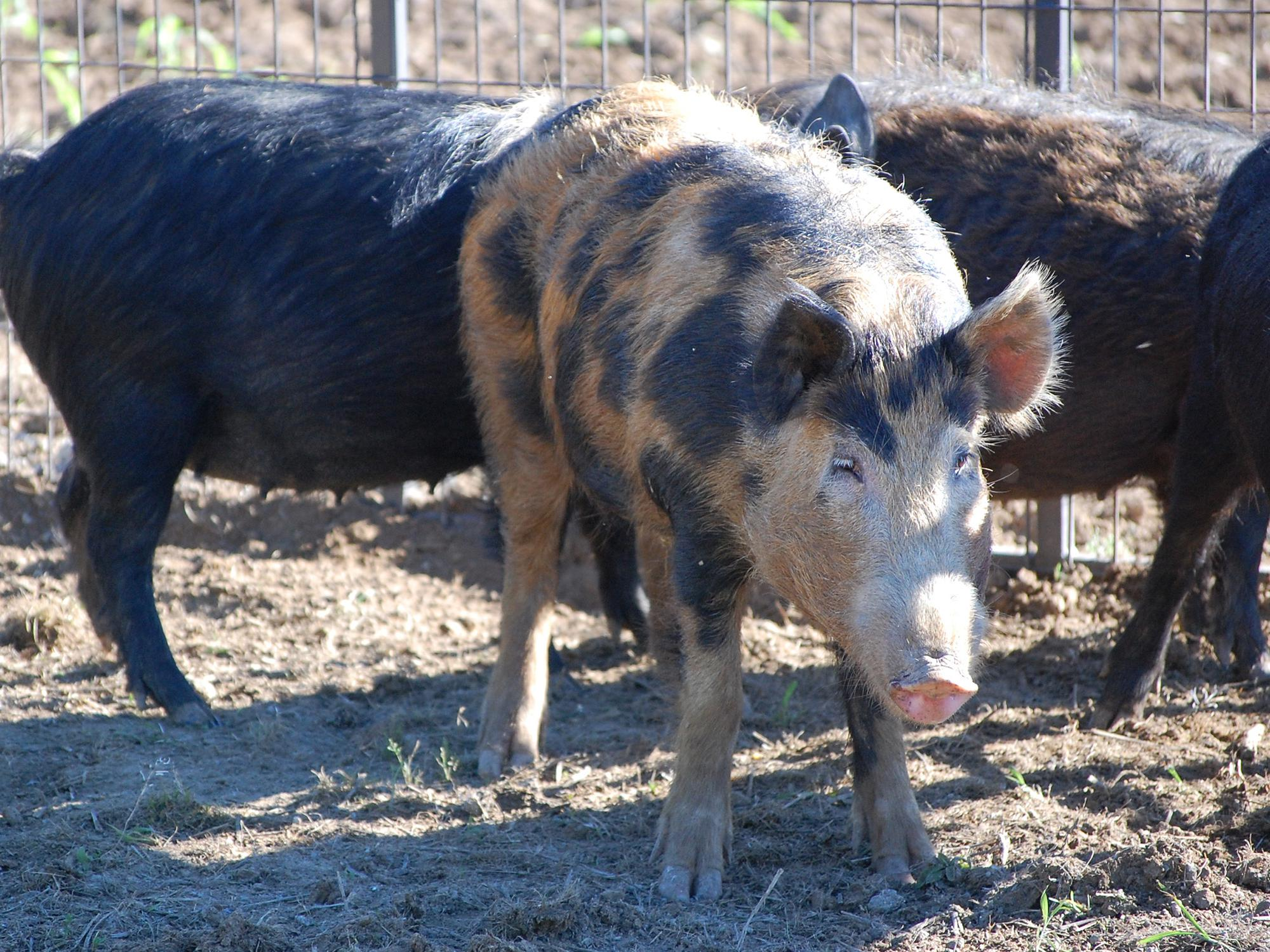 An orange wild hog with large black spots stands in a trap with two black wild hogs in the background.