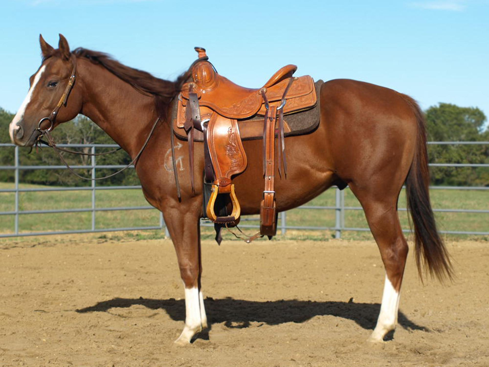 The side view of a bridled and saddled brown horse inside a corral.