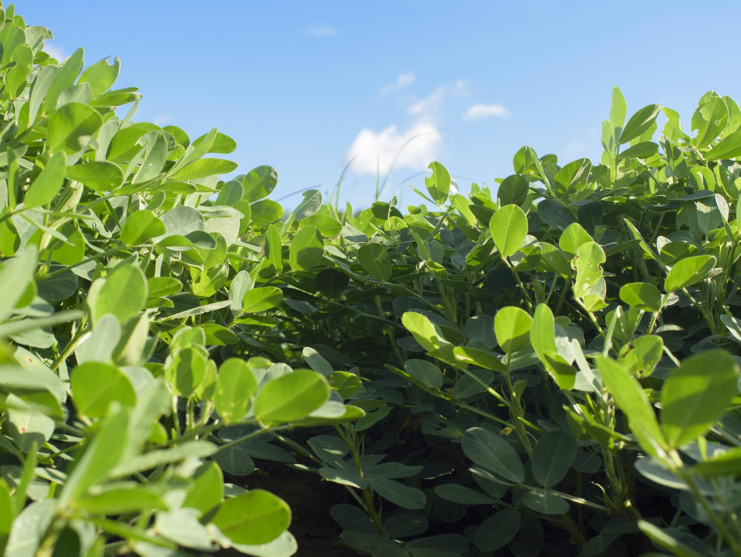 Strong demand for peanuts has encouraged Mississippi growers to plant more of them this year. The U.S. Department of Agriculture projects peanut producers will plant 44,000 acres this year compared with 39,000 in 2016. (File photo by MSU Extension Service/Kevin Hudson)