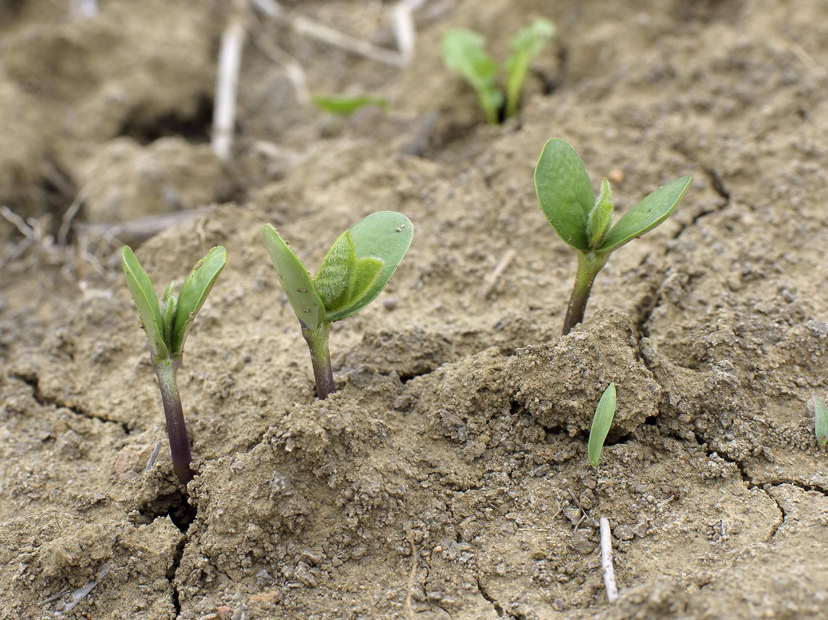 Growers planted the majority of Mississippi's soybean crop well ahead of normal this year, thanks to favorable April weather. These recently emerged soybean plants on Mississippi State University's Rodney Foil Plant Science Research Center were growing on May 3, 2017. (Photo by MSU Extension Service/Kevin Hudson)