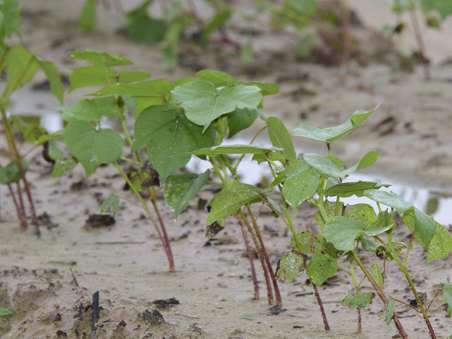 Cotton across the state has been struggling with excess rainfall but remains in good shape at this point in the season. This cotton was growing in a saturated field June 22, 2017, at Mississippi State University in Starkville. (Photo by MSU Extension Service/Kevin Hudson)