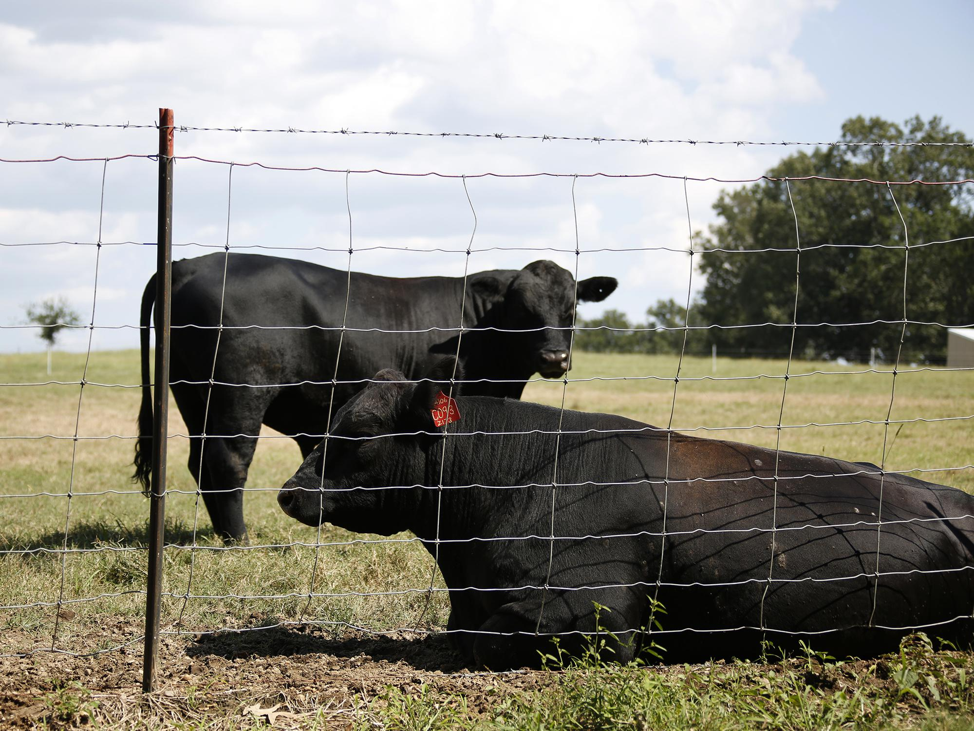 Two black cows in pasture