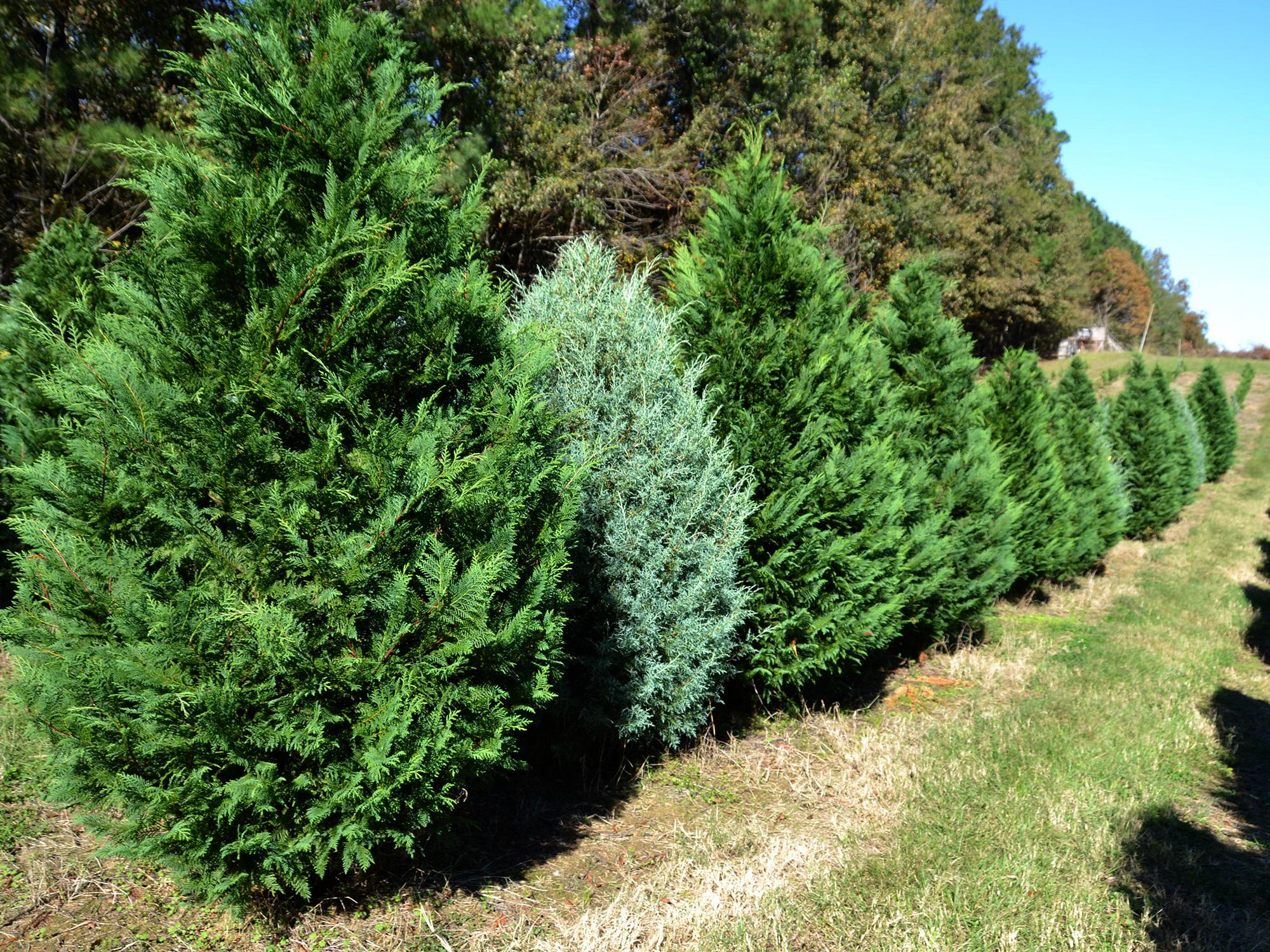 A row of Christmas trees stands at a Jackson, Mississippi, Christmas tree farm.