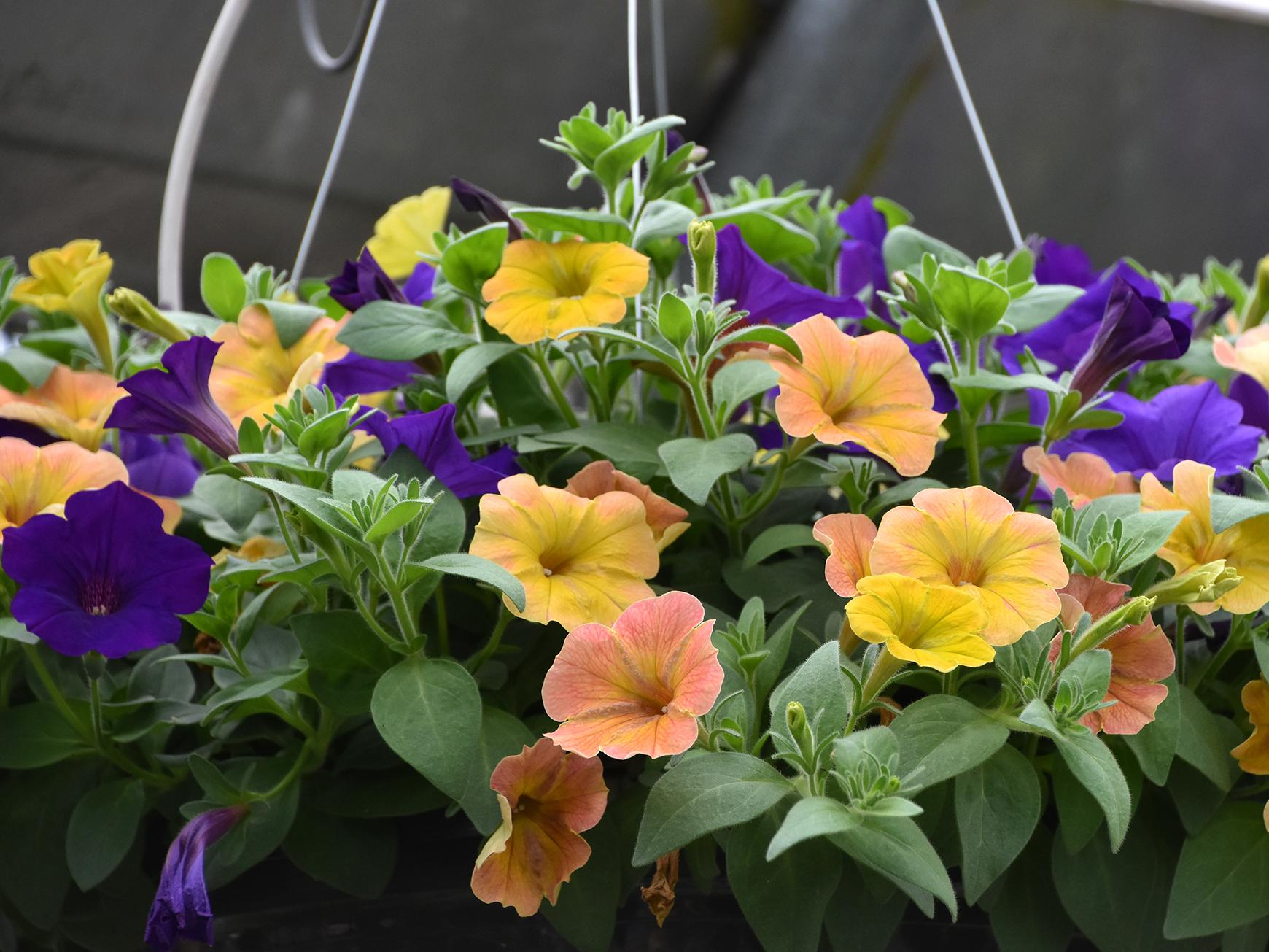 Supertunia Royal Velvet combines perfectly with Supertunia Honey for a beautiful hanging basket. (Photo by MSU Extension/Gary Bachman)