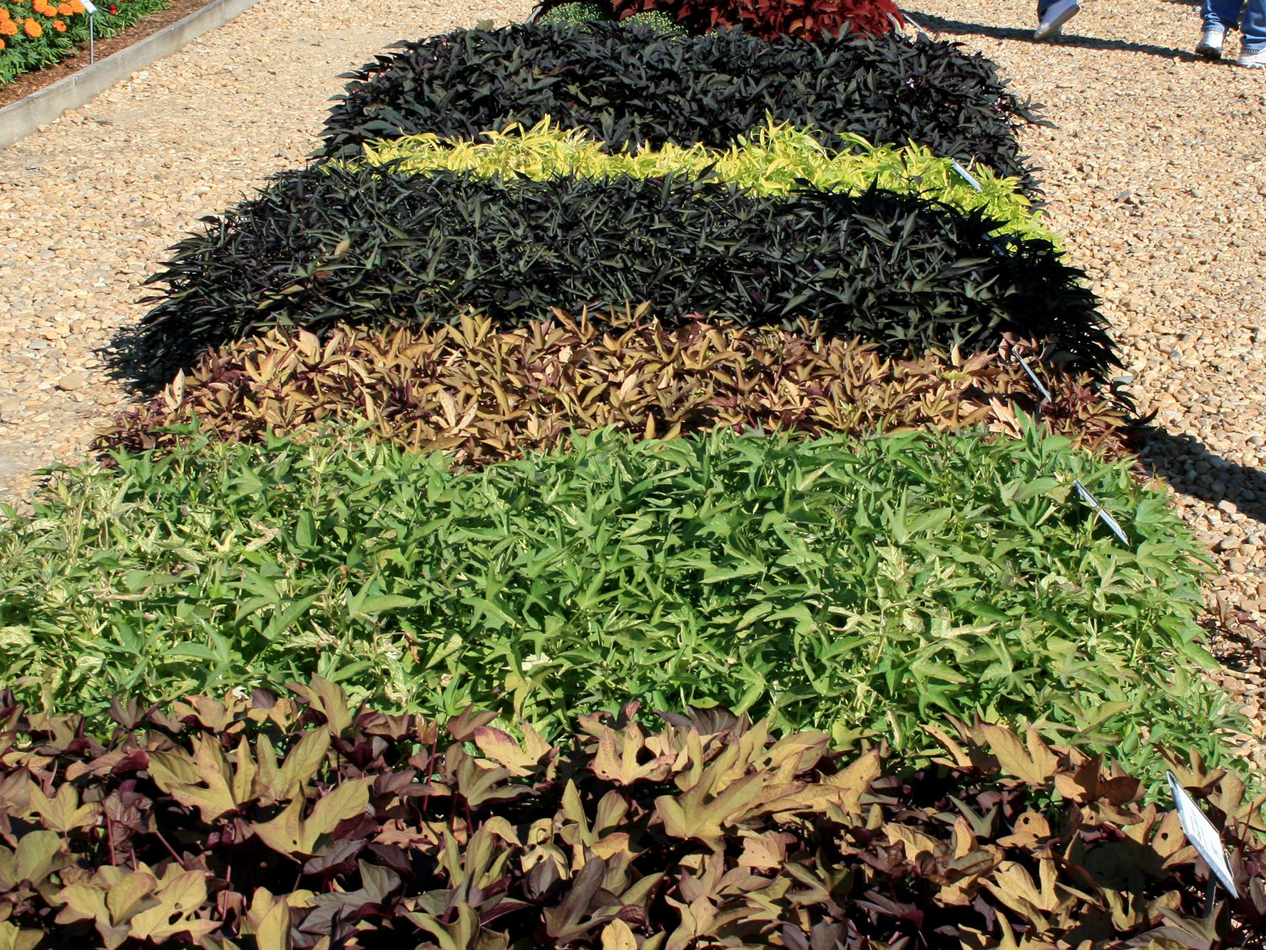 The ornamental sweet potato is a go-to choice for large areas that need some kind of colorful ground cover. It is a great plant for massing and comes in a wide variety of colors and textures. (Photo by MSU Extension/Gary Bachman)