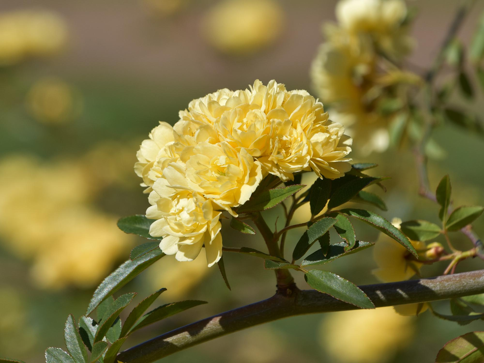 Although common in Southern landscapes, the Lady Banks rose dates back to the late 1790s and came from China. (Photo by MSU Extension/Gary Bachman)