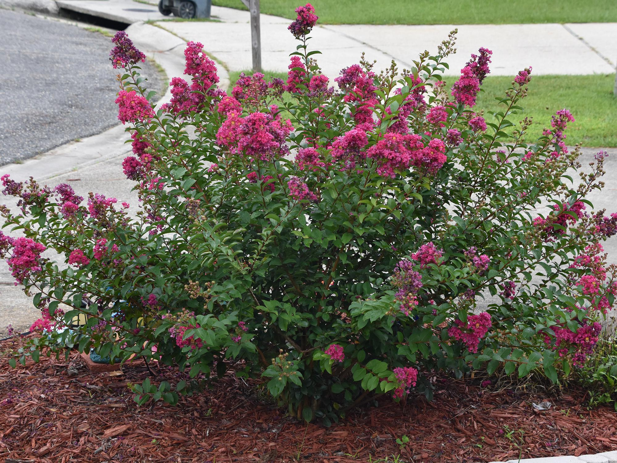 Gardeners sometimes use heavy pruning to control crape myrtle size and shape, but these goals are better achieved by choosing the right plant to fit the space. This Bourbon Street Dwarf Crape Myrtle is an excellent choice for a small area. (Photo by MSU Extension/Gary Bachman)