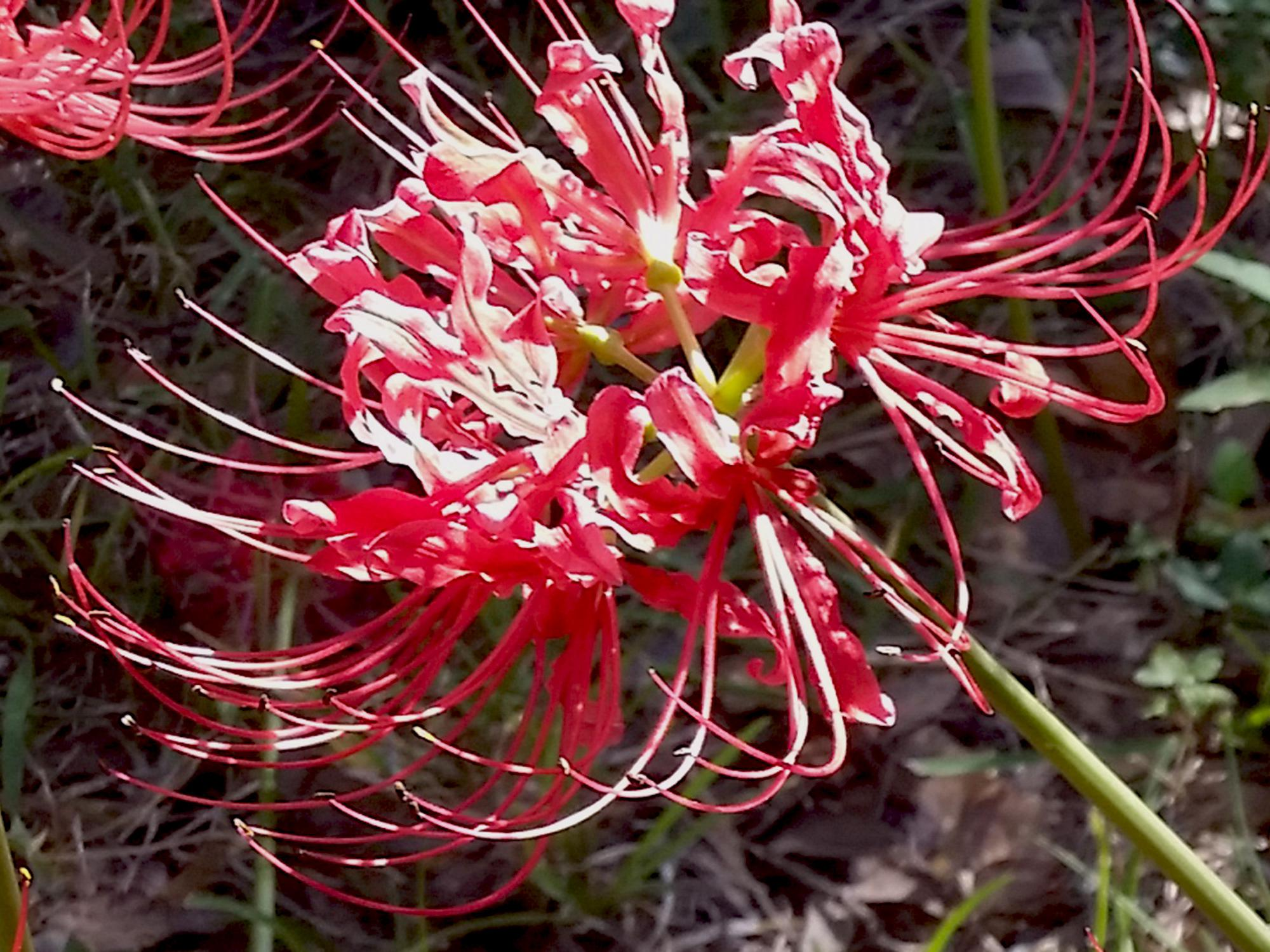 A Lycoris, pink/red flower with no foliage, better known as the spider lily or naked lady.