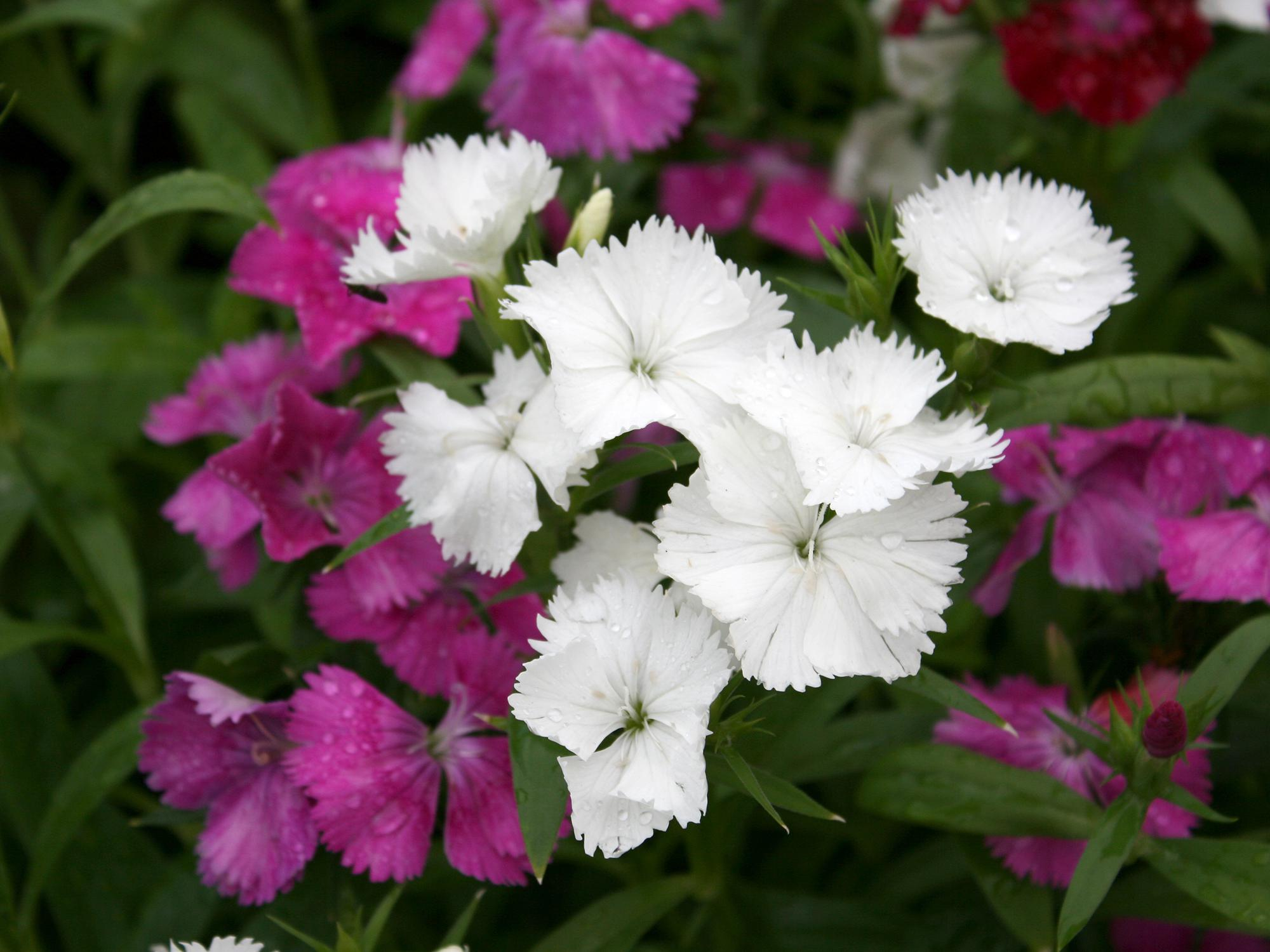 A close-up of white and pink dianthus blooms.