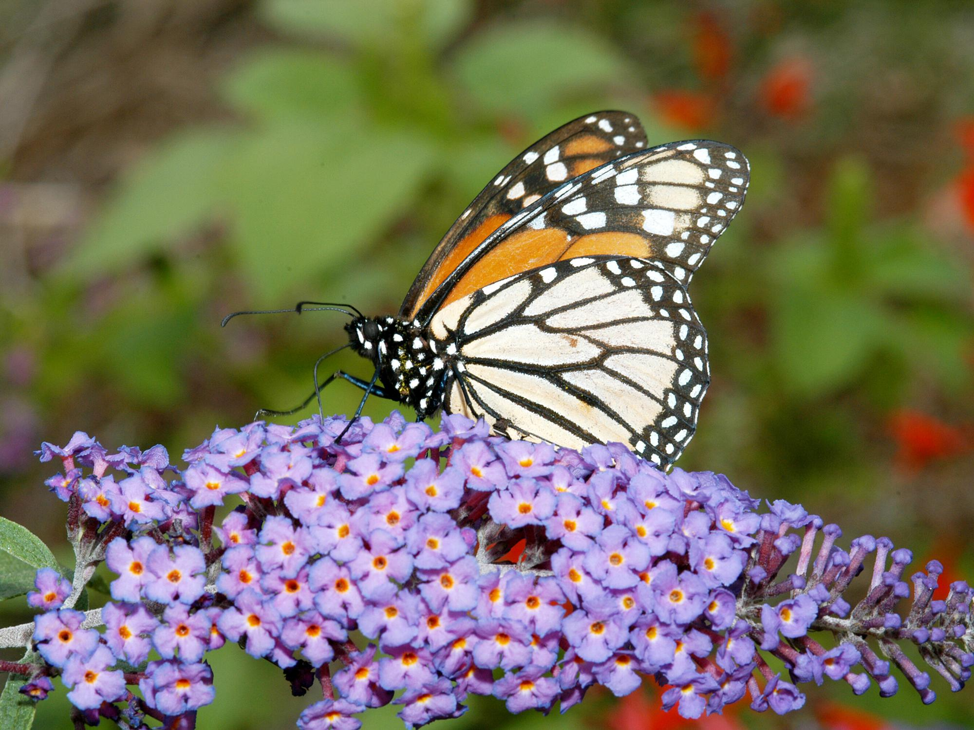 An orange and white Monarch butterfly rests on small purple flowers.