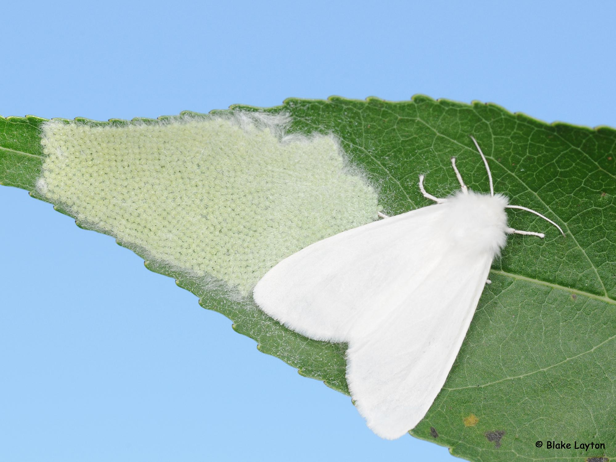 A white moth rests on a green leaf beside a single layer of dozens of round, white eggs laid in a mass.