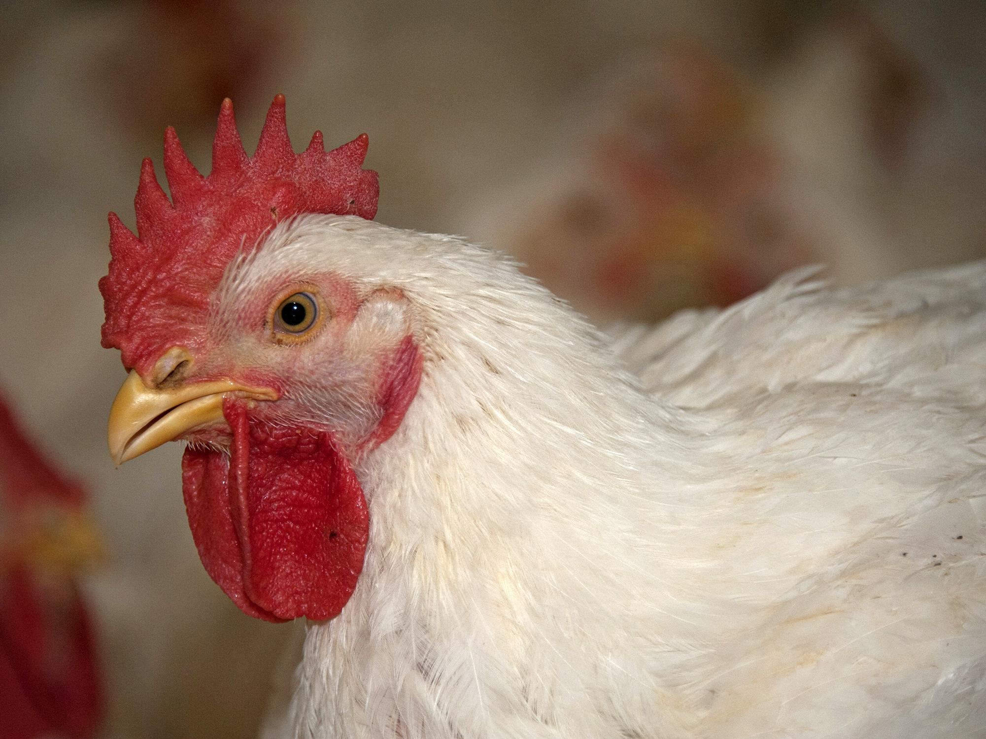 A close-up of a commercial chicken with white feathers is shown in the right three-quarters of the foreground with other chickens blurred in the background.