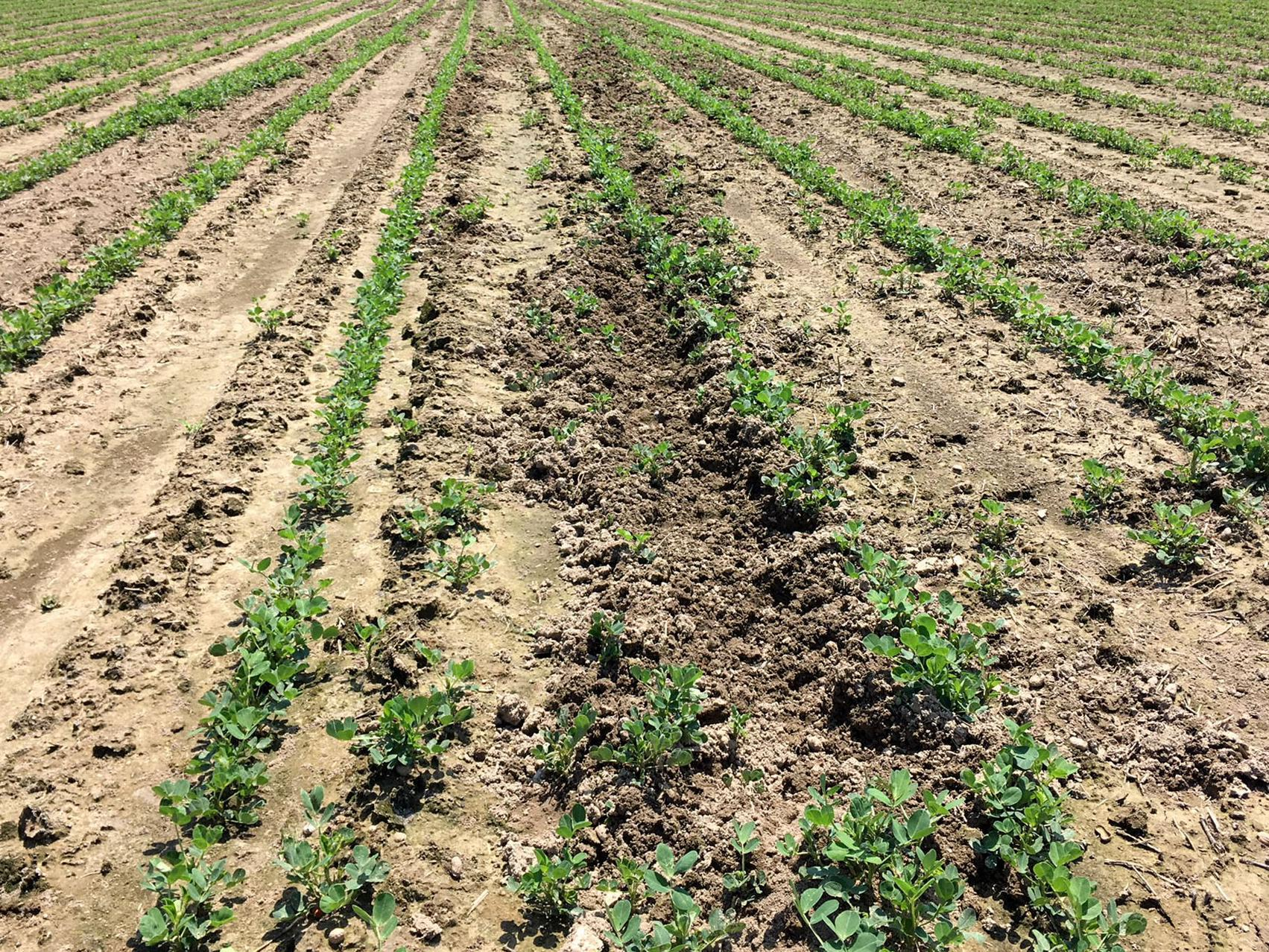 Rows of small green plant, some near disturbed soil, in a large field.