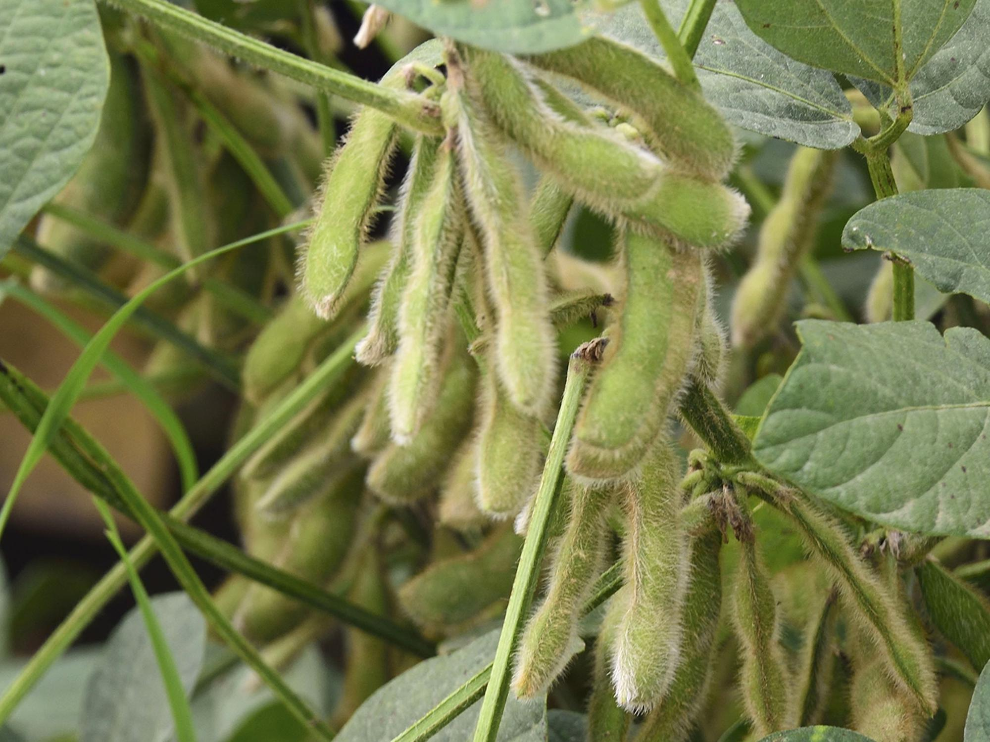 Green soybean plants set pods in a field.