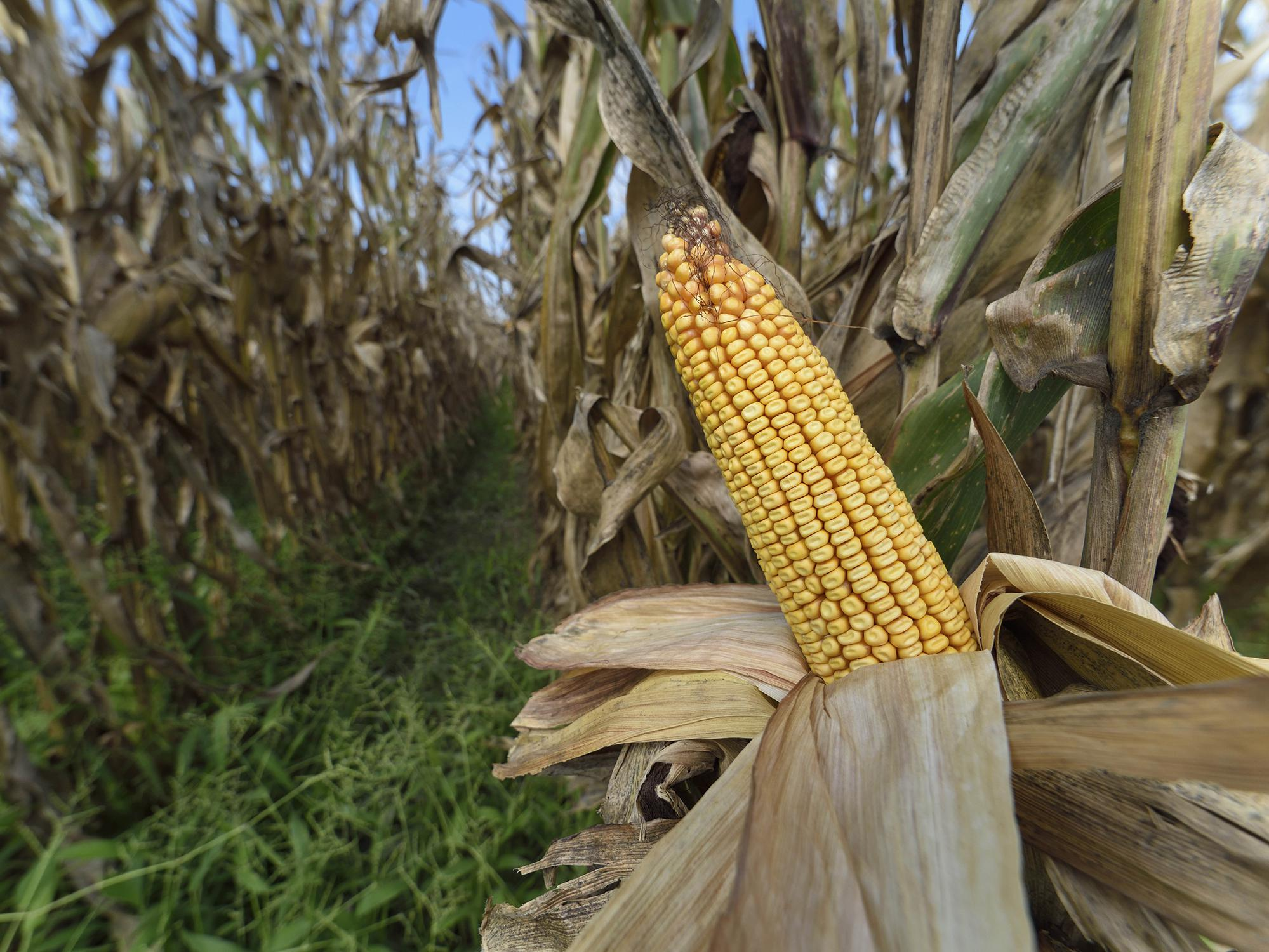 A golden ear of corn with the husks pulled back is attached to a dried stalk in a cornfield.