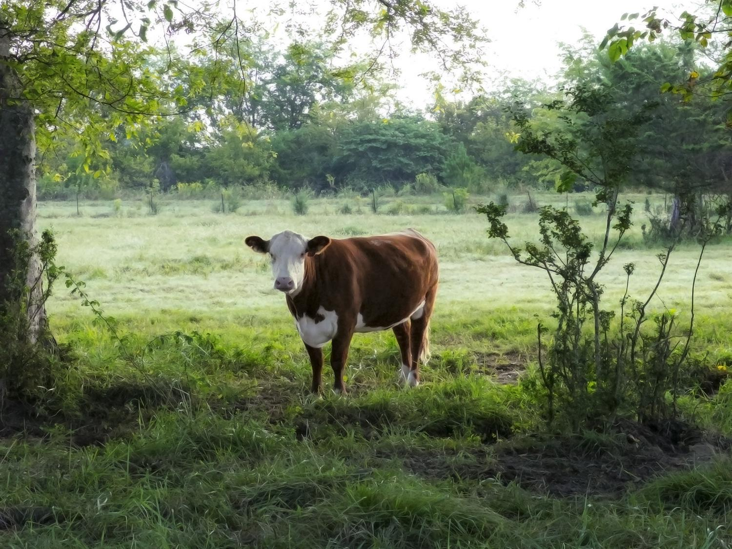 One red and white cow faces the camera while standing in a pasture green with grass and trees.