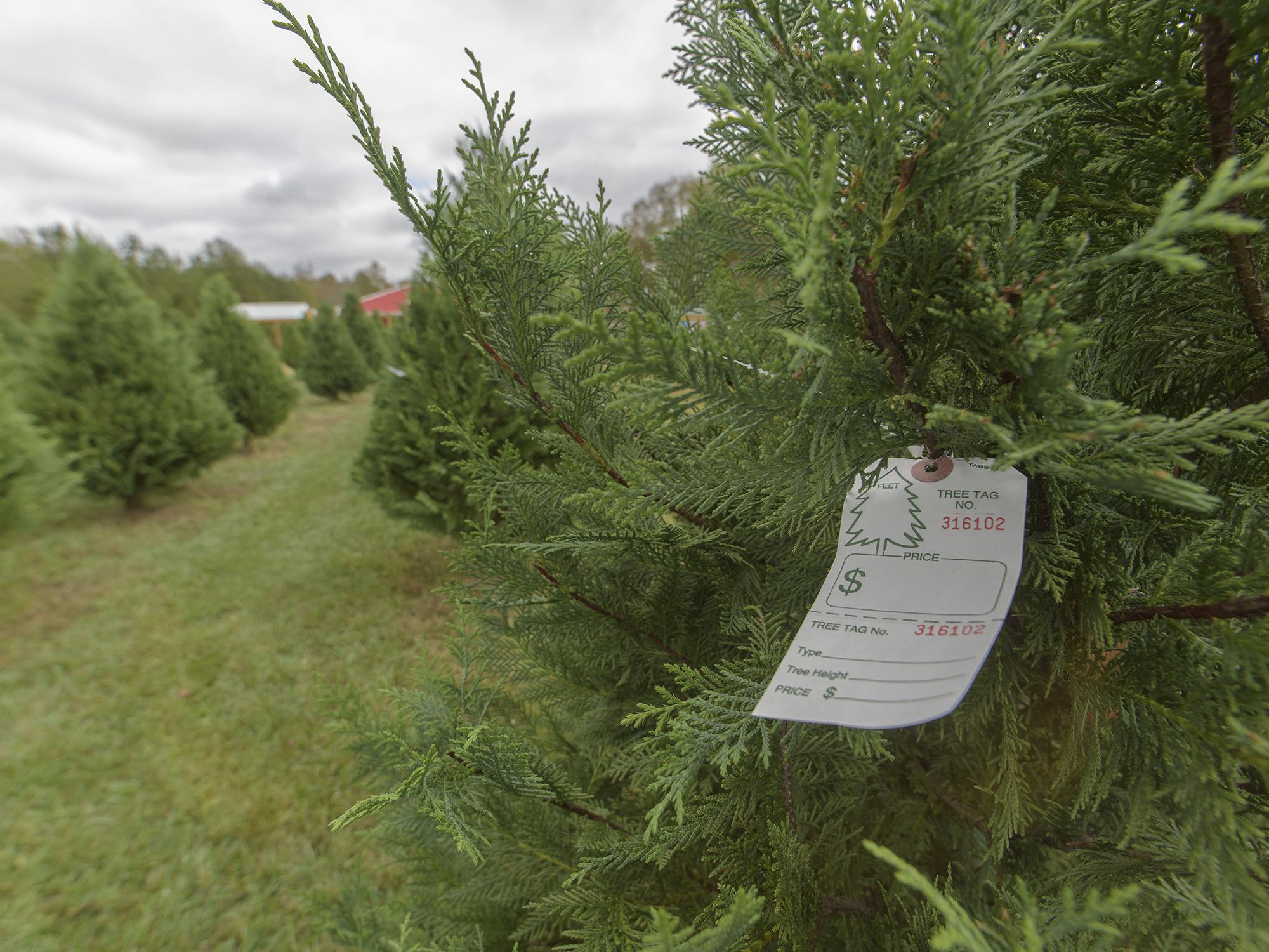 Rows of live green Christmas trees on the left and tree with a pre-printed tag close-up on the right.