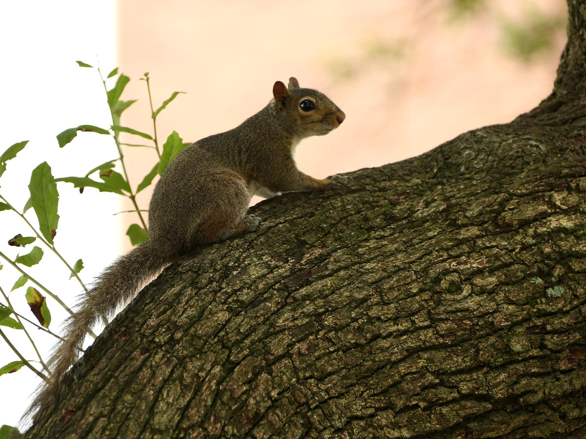 A gray squirrel pauses as it climbs a tree.
