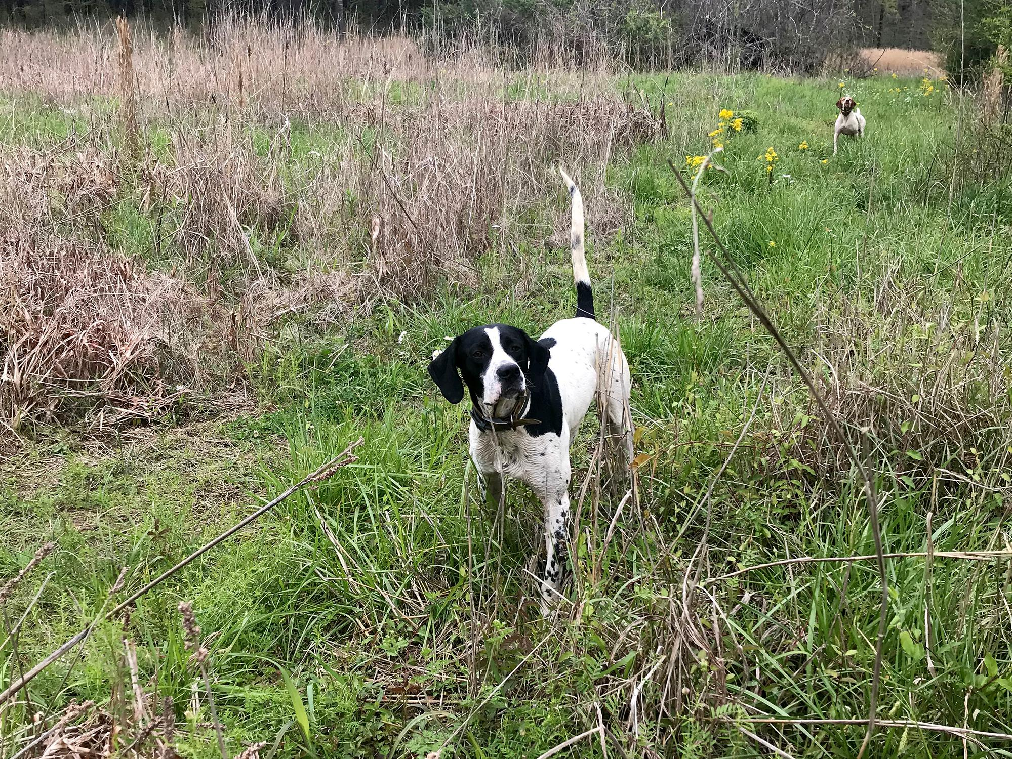 A black and white dog stands alert with his tail up and ears forward in tall grass with trees in the background.