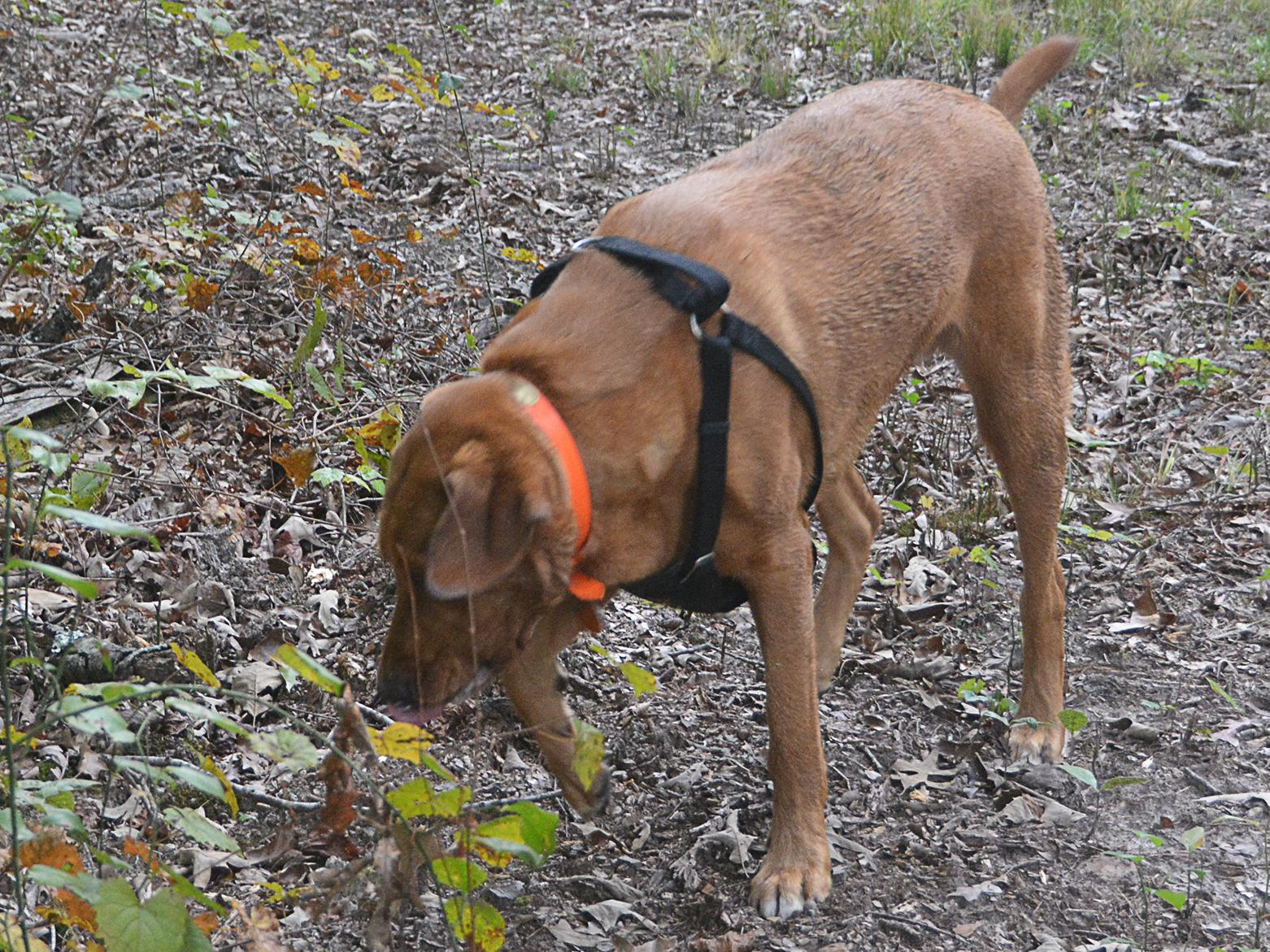 Large, reddish-brown dog wearing a shoulder harness sniffs the ground in a wooded area.