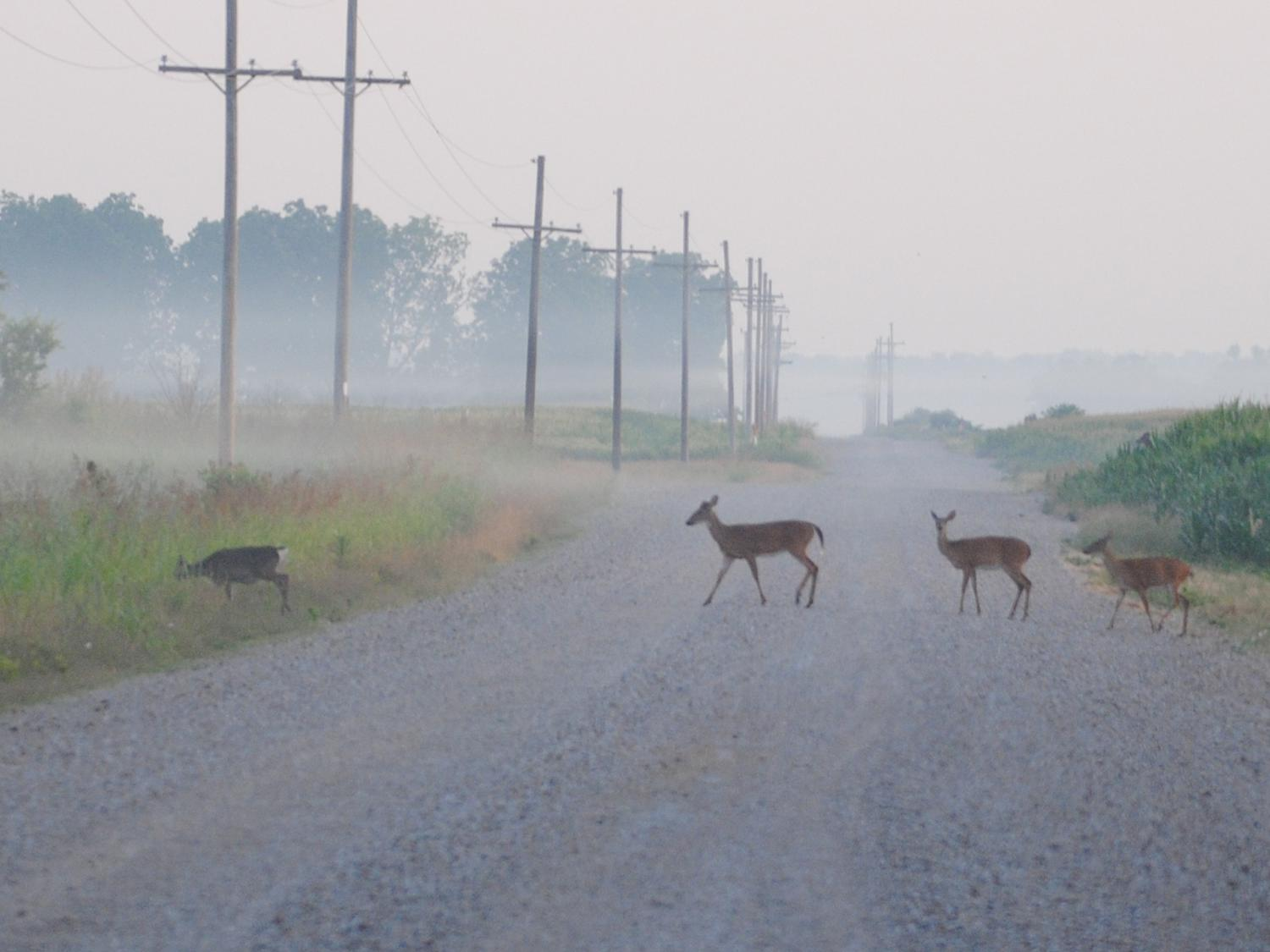 Several deer enter wooded cover area as four deer follow in single file across a gravel road with a corn field behind them on a foggy, early morning.