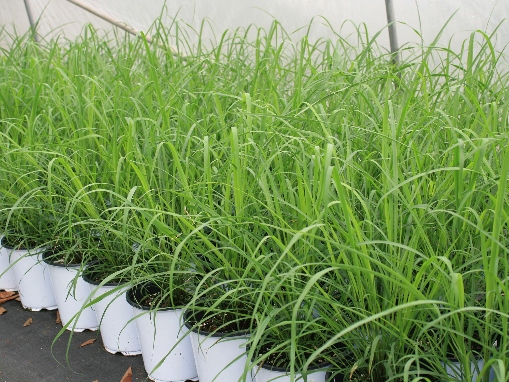 White flower pots containing green lemongrass are lined up on the ground.