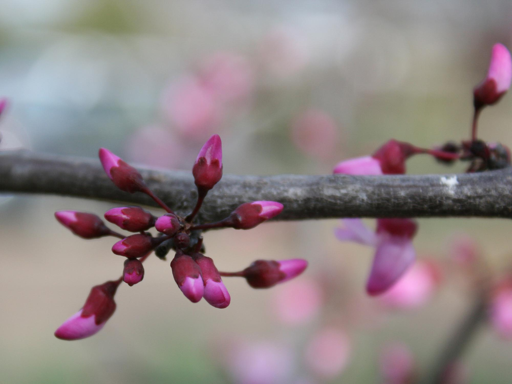 Tiny pink buds cluster in groups on a bare branch.
