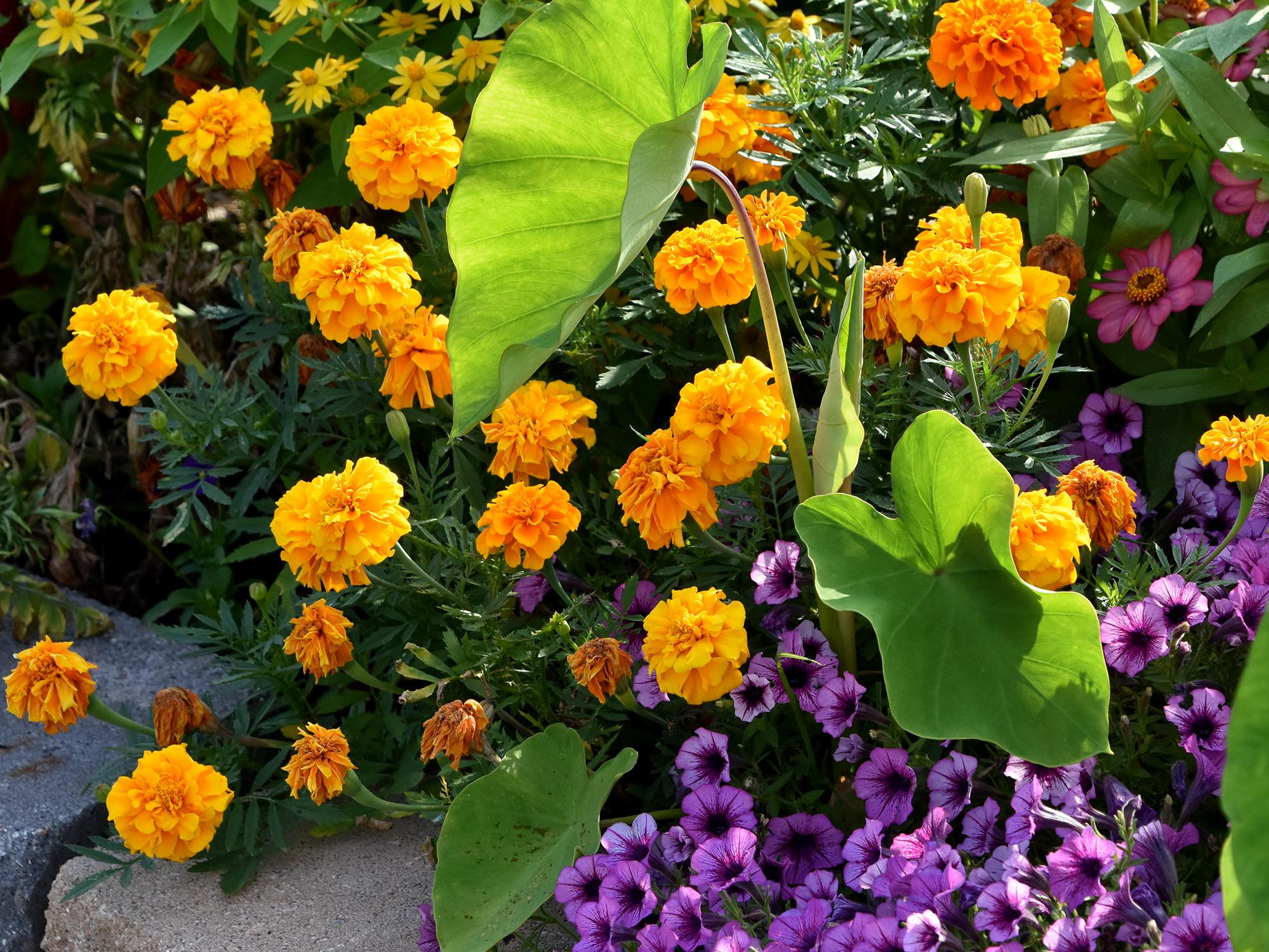 Orange marigolds grow in a bed with purple blooms and green elephant ears.