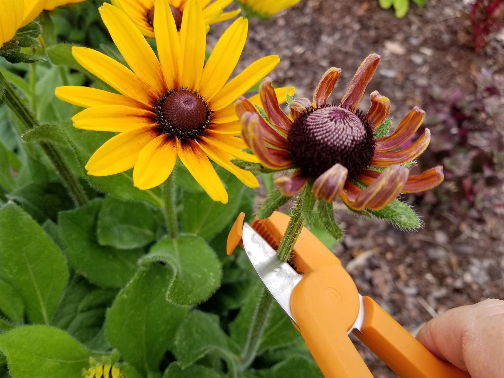 A pair of orange trimmers is about to snip off a spent flower.