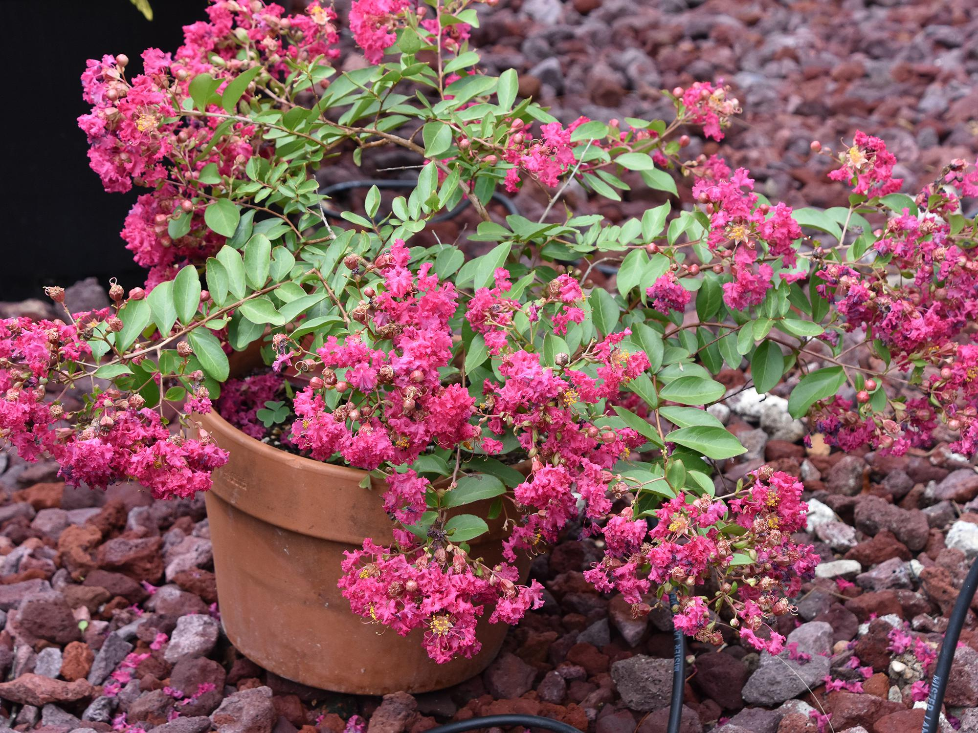 A brown clay pot contains a small bush with pink flowers.