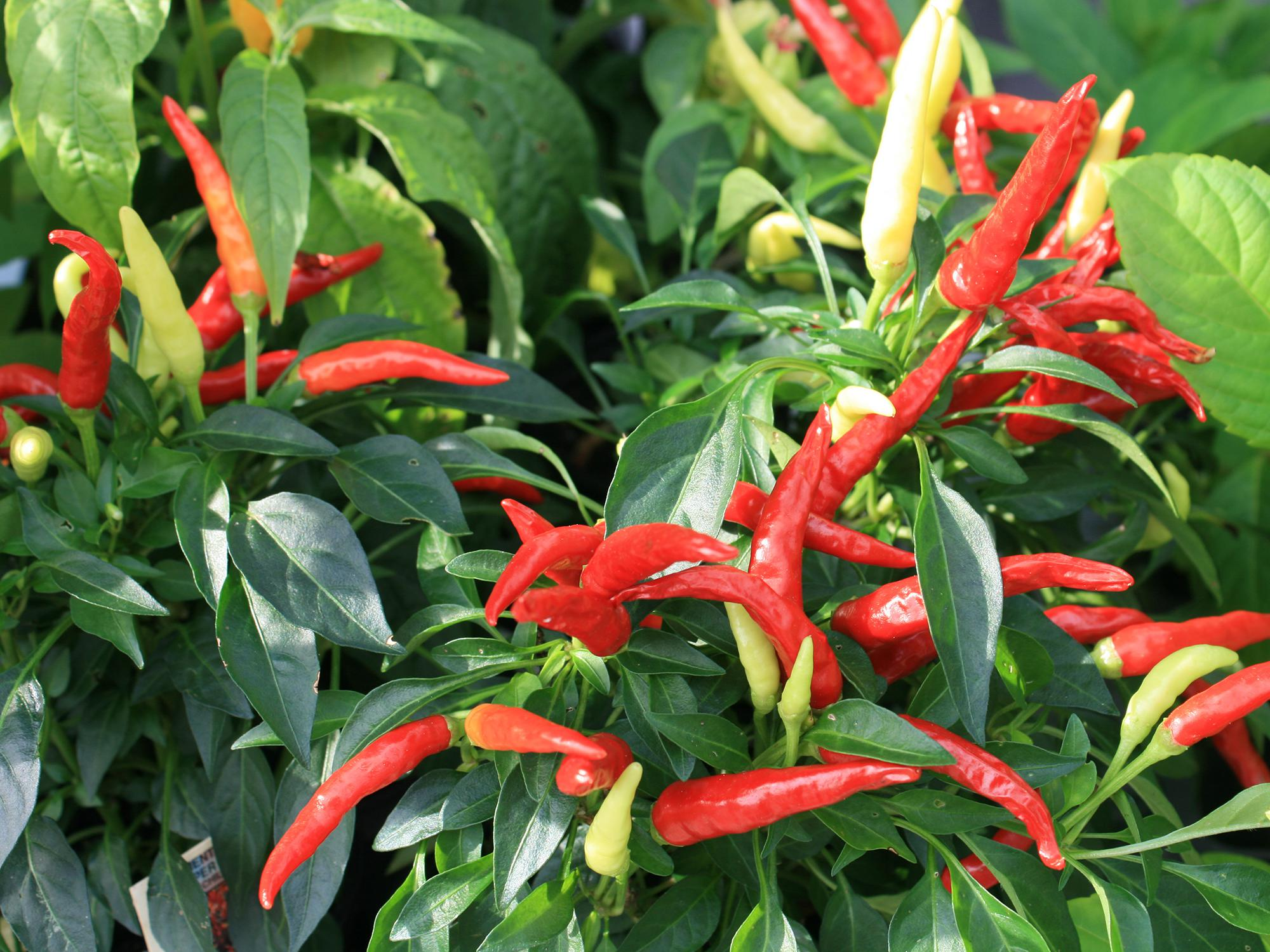 Several red pepper and a few yellow ones rise above green foliage.