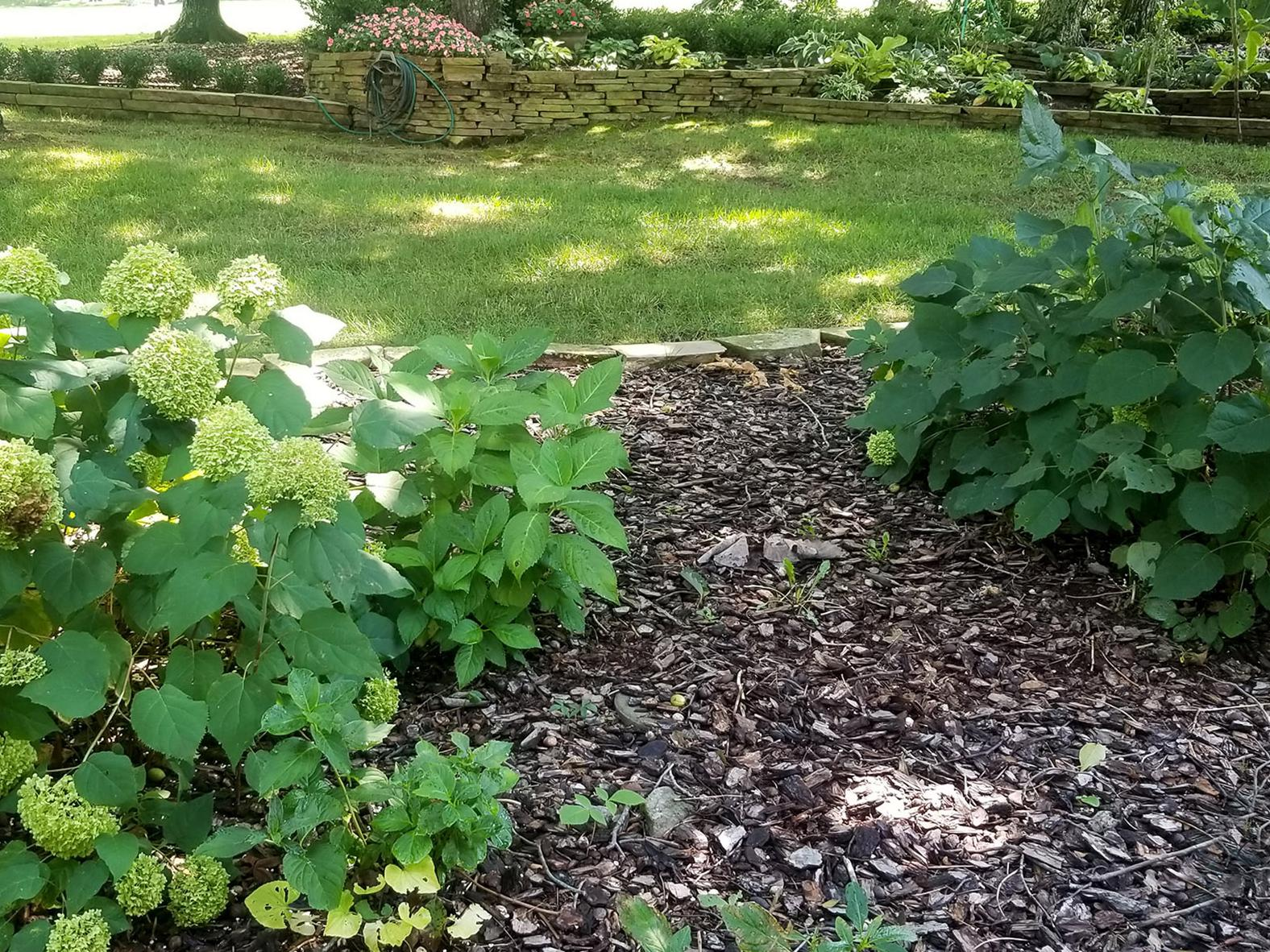 Two hydrangeas are pictured in the foreground of a garden, with one blooming and the smaller one not blooming.