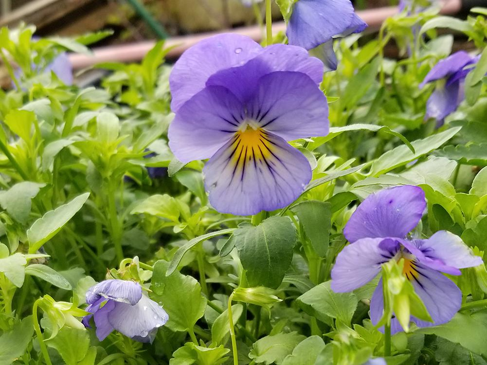 Blue-purple flowers on slender, upright stems stand above a mass of green foliage.