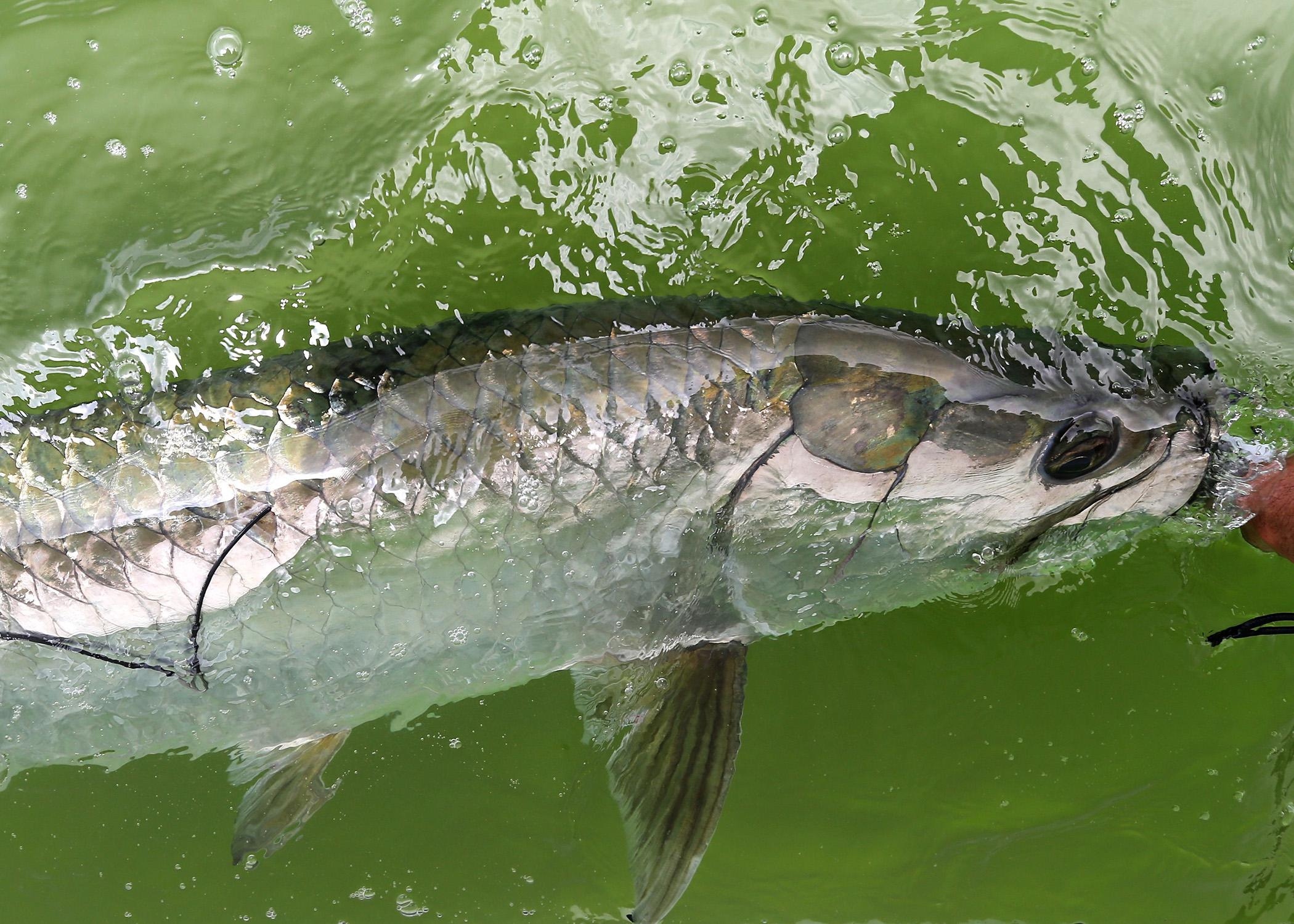 A silver fish is released into green water.