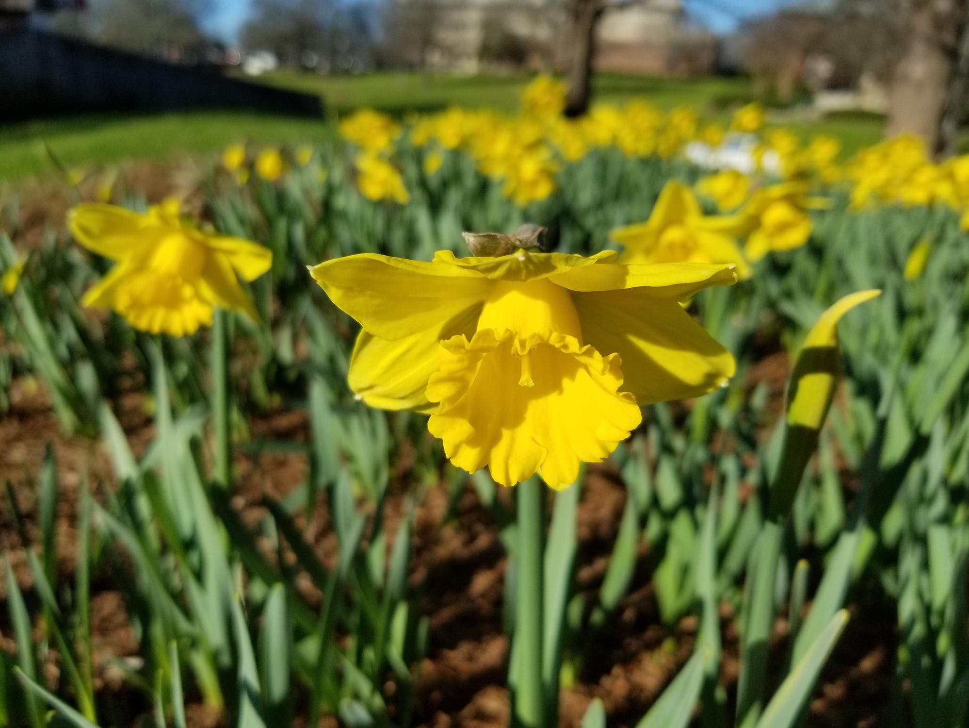 A blooming, yellow daffodil in focus in the foreground with a large cluster of other daffodils behind it out of focus.